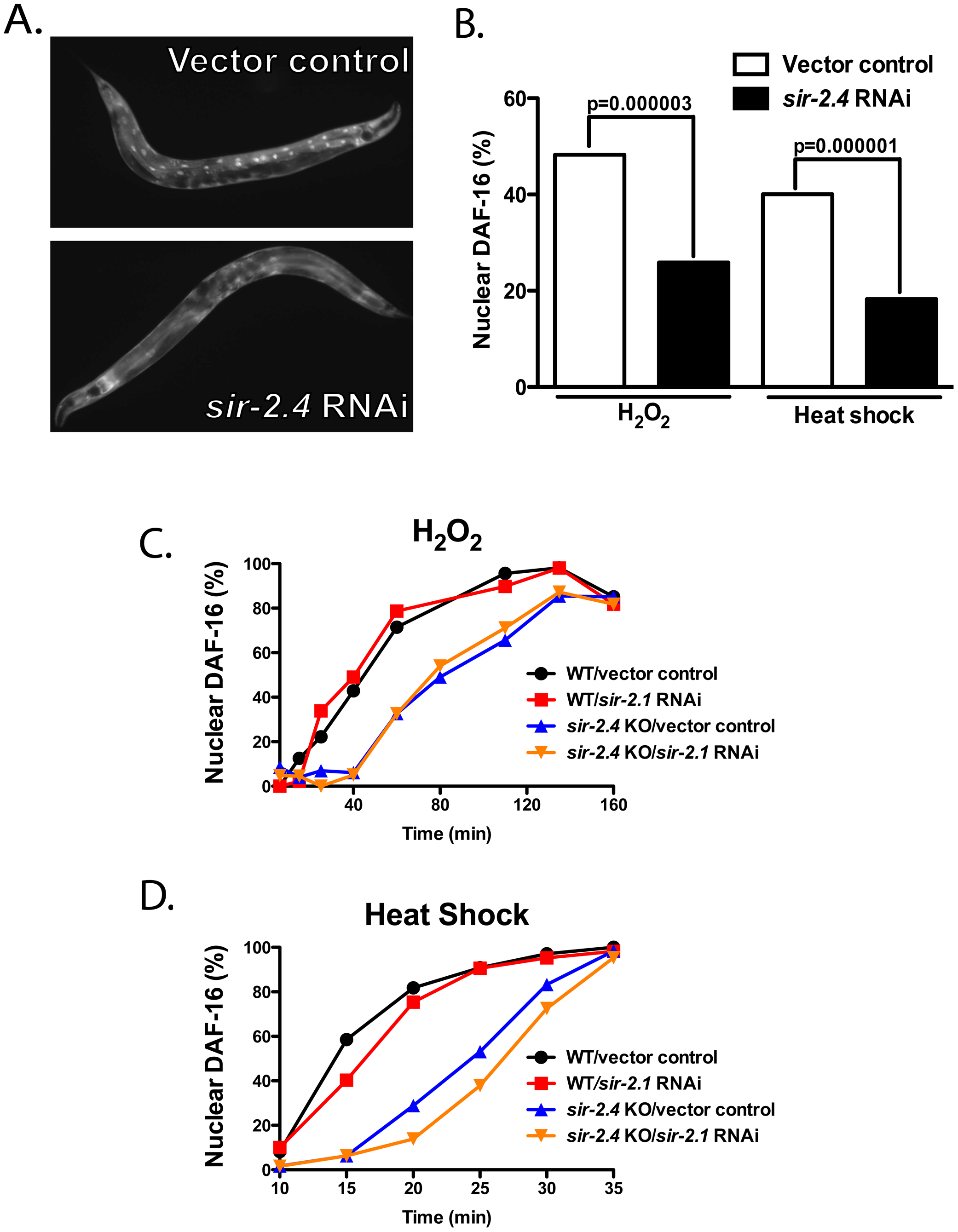SIR-2.4, but not SIR-2.1, is required for stress-induced DAF-16 nuclear localization.