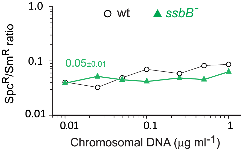 Transformation of a 8,653–nt heterology and a point mutation in wildtype and <i>ssbB<sup>−</sup></i> cells.