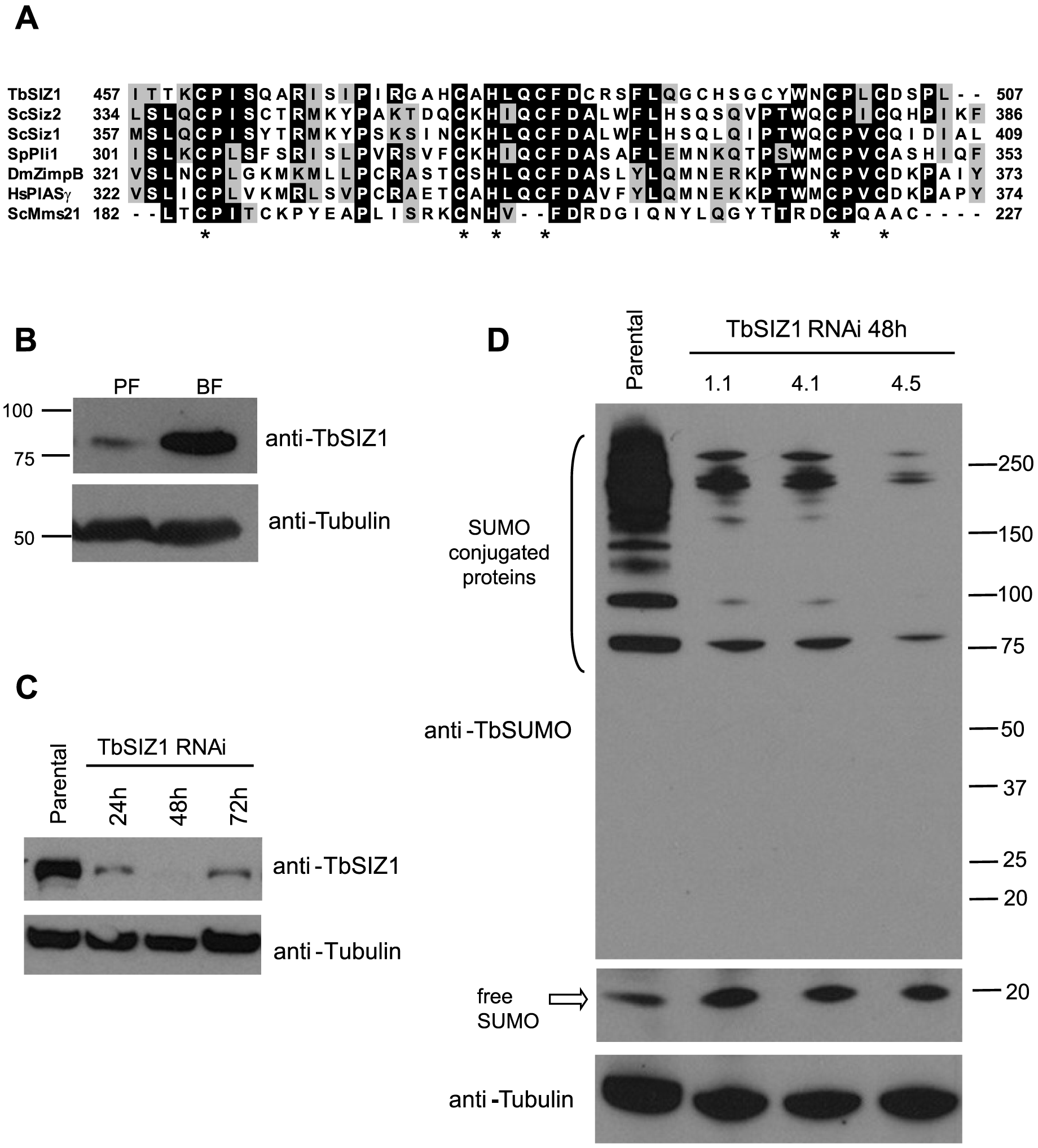 Identification and functional analysis of the SUMO ligase TbSIZ1.