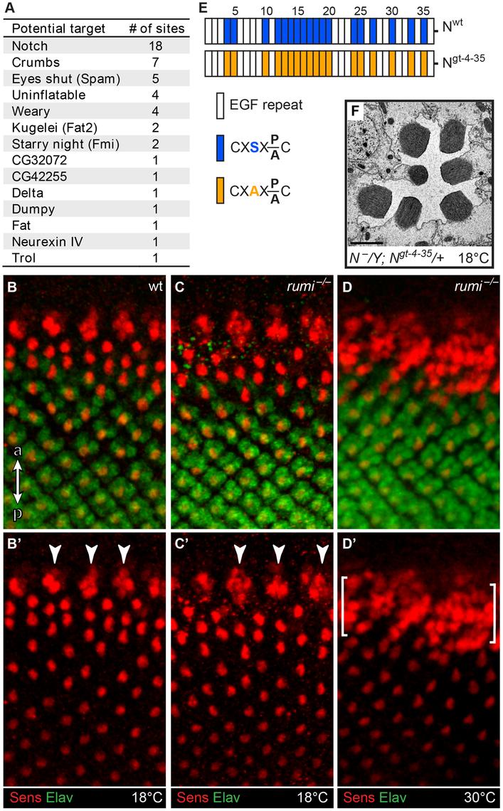 Loss of <i>O</i>-glucose on Notch cannot explain the <i>rumi<sup>−/−</sup></i> rhabdomere attachment phenotype.