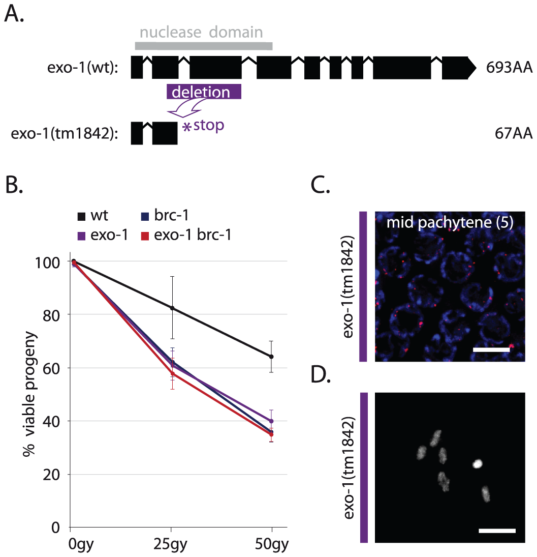 EXO-1 promotes DSB repair in germ cells.