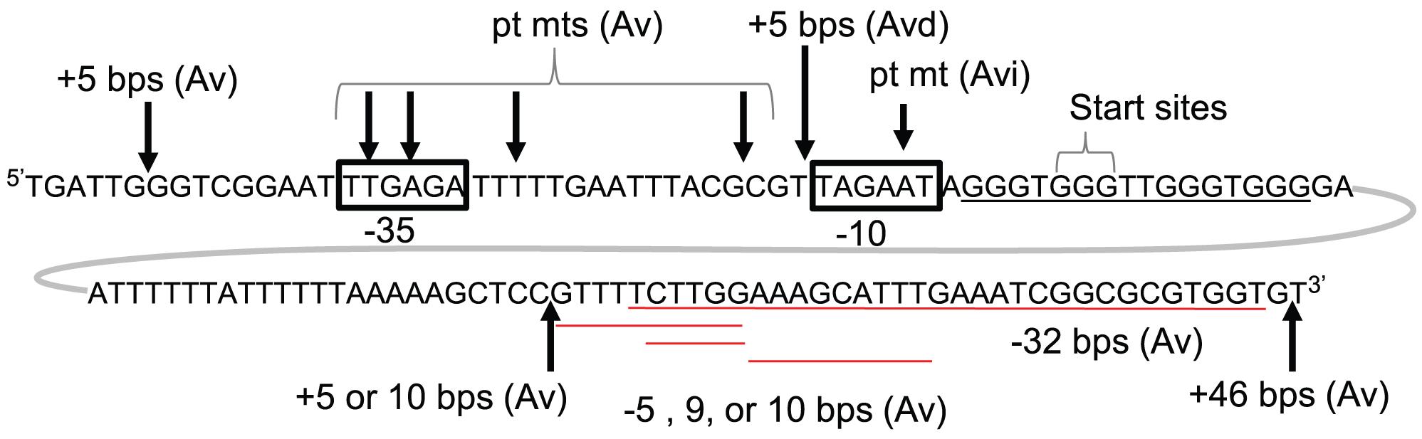 Genetic analysis of <i>pilE</i> G4-associated sRNA.