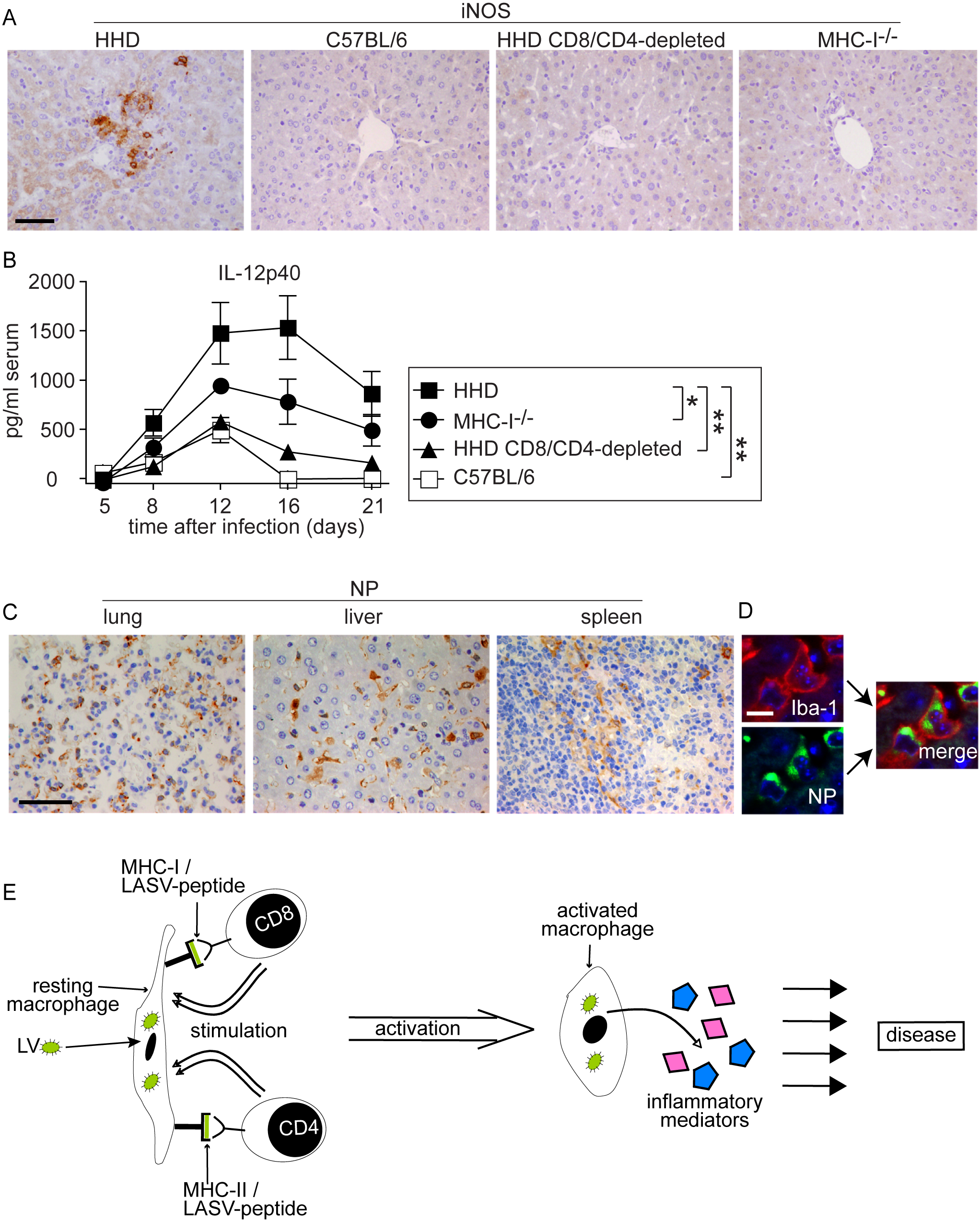 Monocytes/macrophages represent a major target of LASV and produce inflammatory mediators in a T cell-dependent fashion.