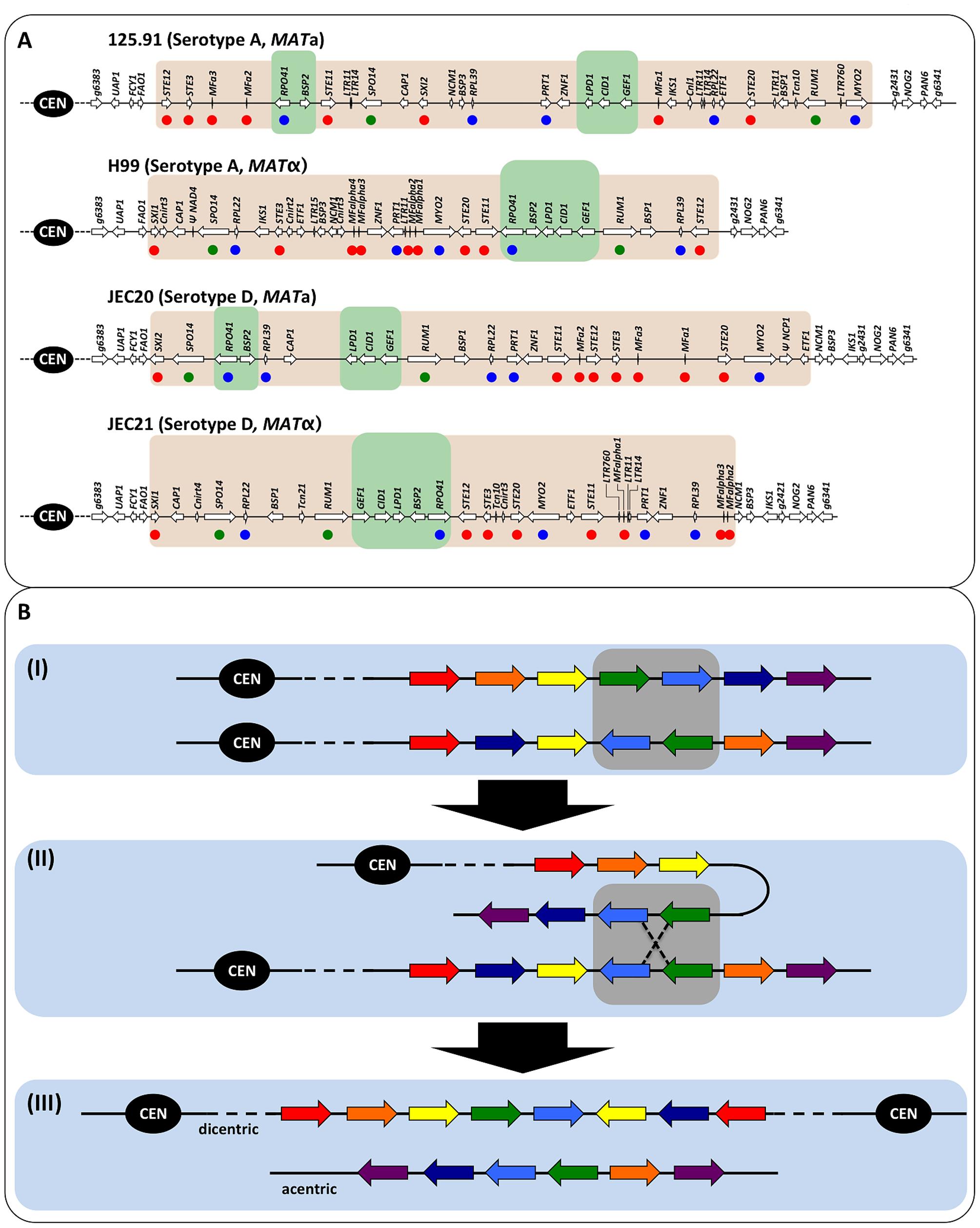 Diagrams of the <i>MAT</i> loci of <i>C. neoformans</i> var. <i>grubii</i> and var. <i>neoformans</i> and illustration of meiotic recombination within inverted chromosomal region.