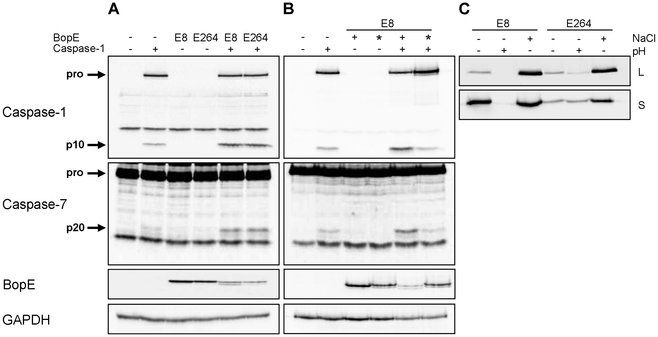 <i>Burkholderia</i> BopE is a mediator of caspase-1 activation in HEK293 cells.