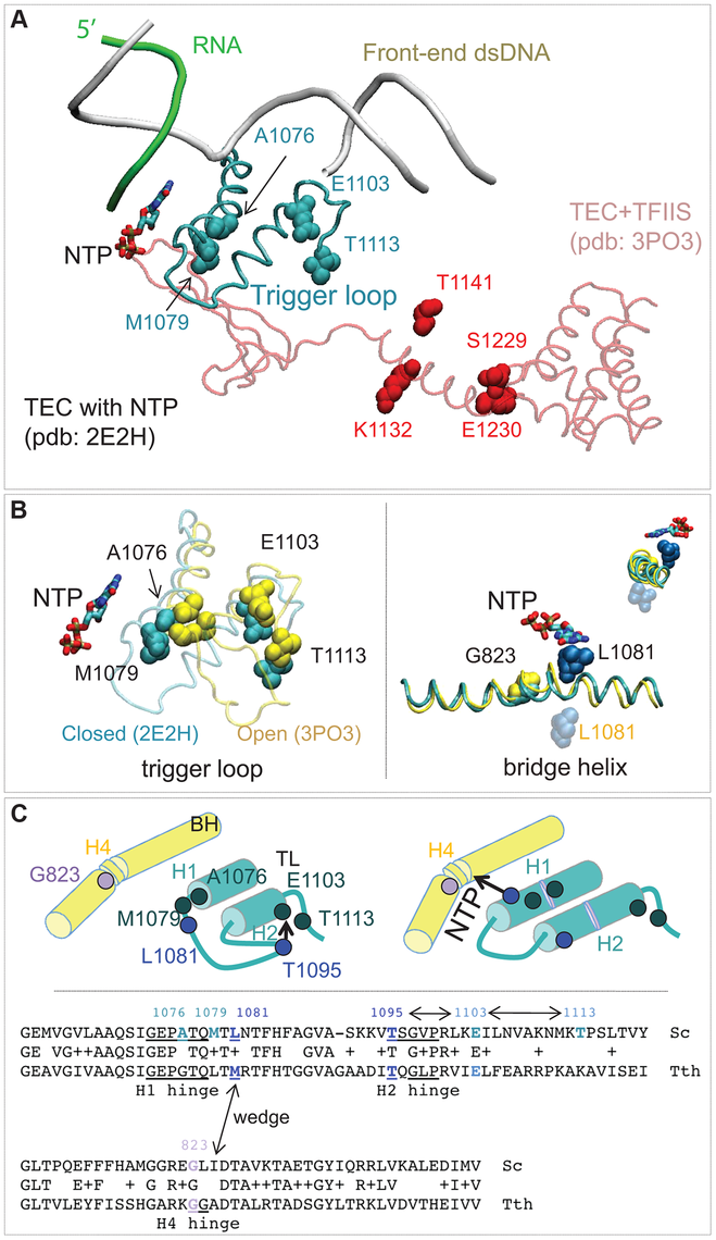 Rpb1 domains involved in control of transcription fidelity.
