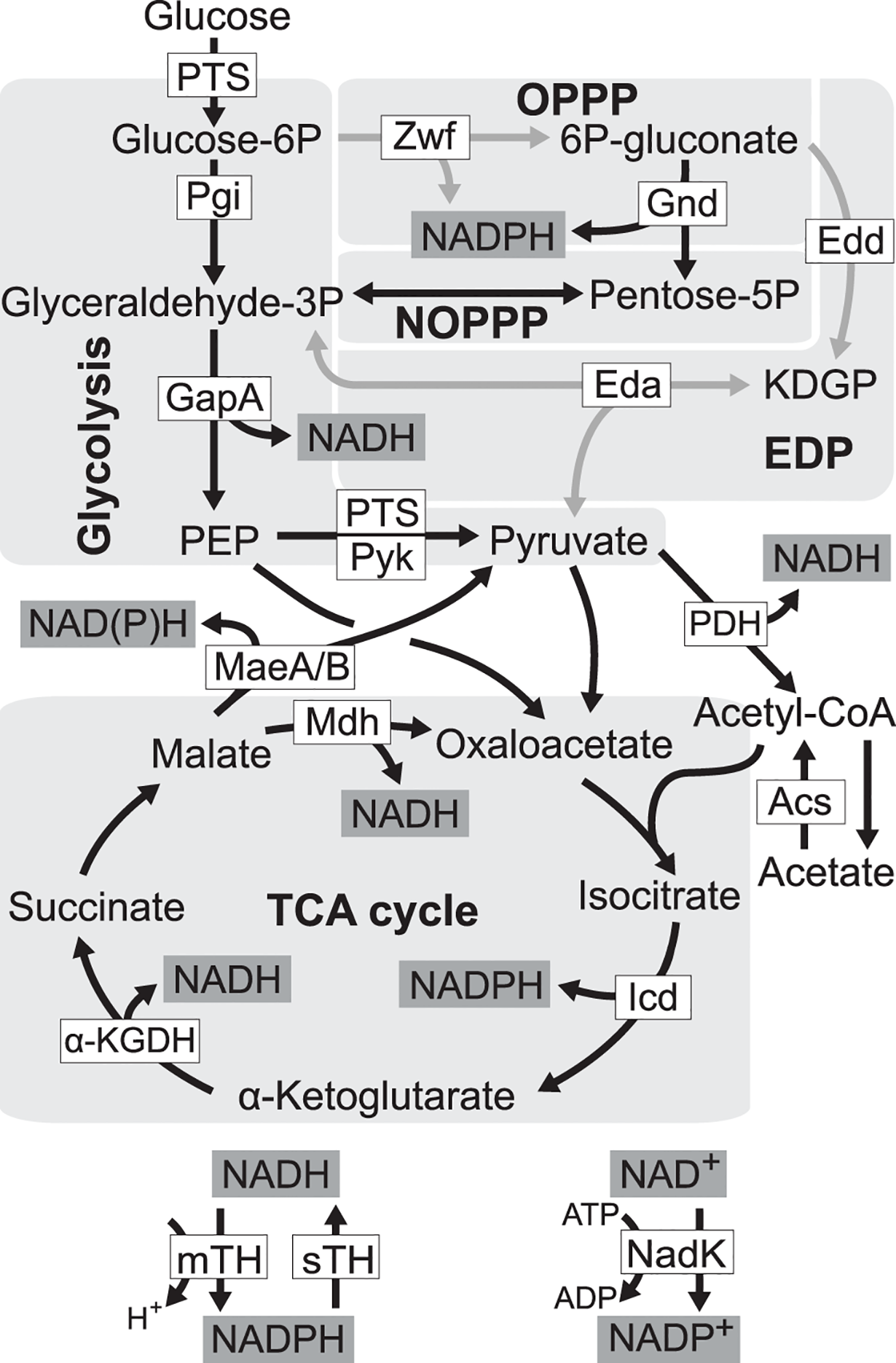 Redox cofactor production during growth on glucose.