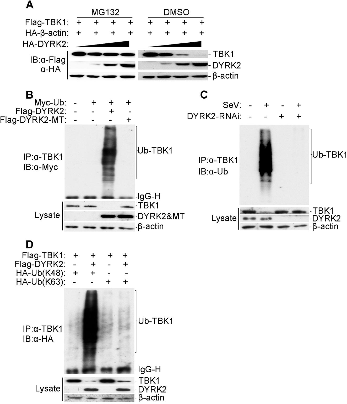 DYRK2 promoted TBK1 degradation via K48-linked ubiquitination.