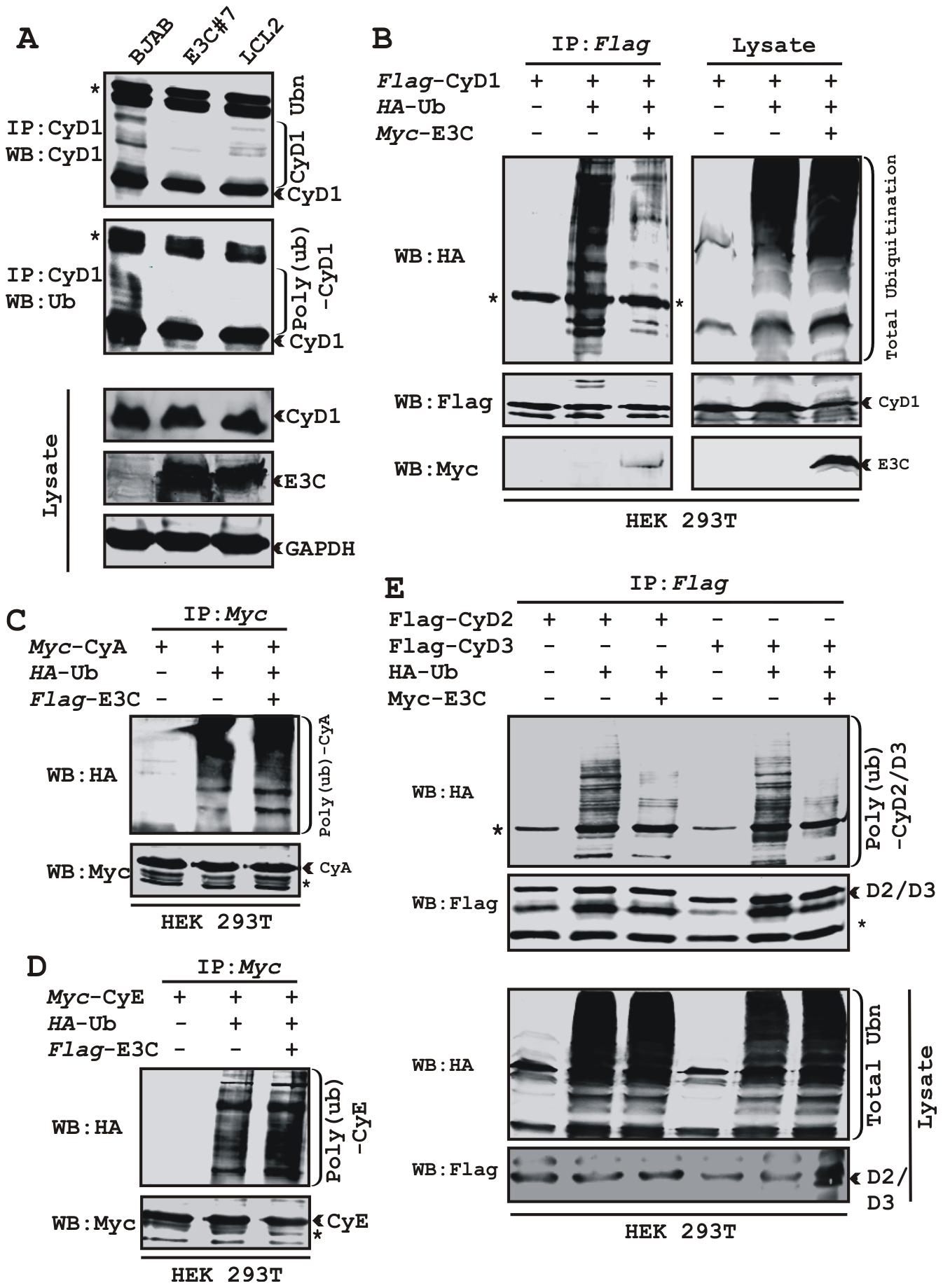EBNA3C stabilizes Cyclin D1 through inhibiting its poly-ubiquitination.