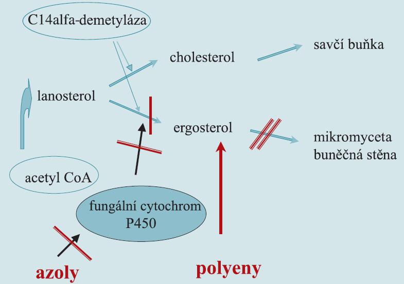 Mechanizmus účinku polyenů a azolů.