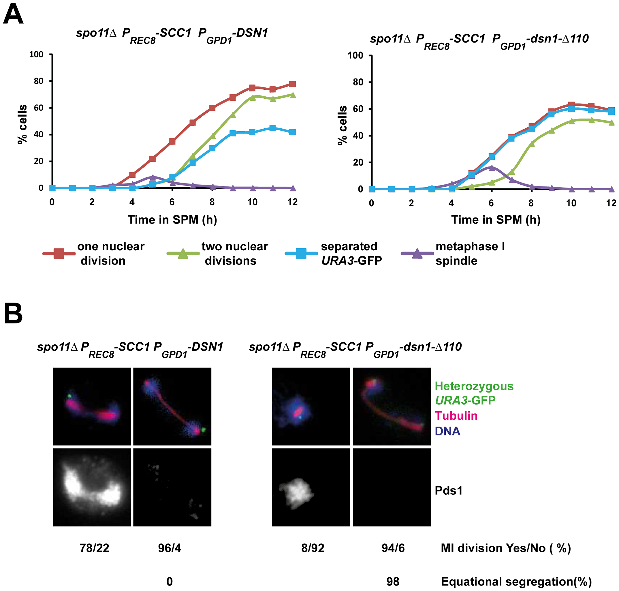 Replacement of cohesin subunit Rec8 by Scc1 rescues the nuclear division defect of <i>P<sub>GPD1</sub>-dsn1-Δ110</i> cells.