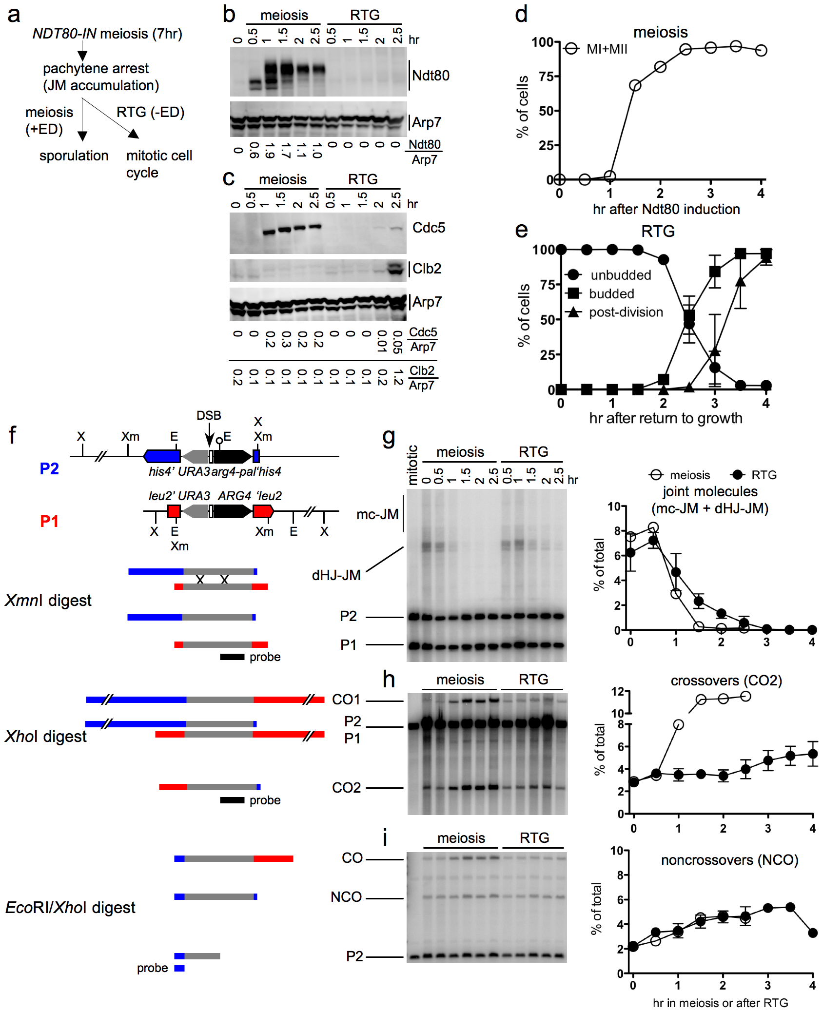 JM resolution and recombinant product formation during meiosis and RTG.