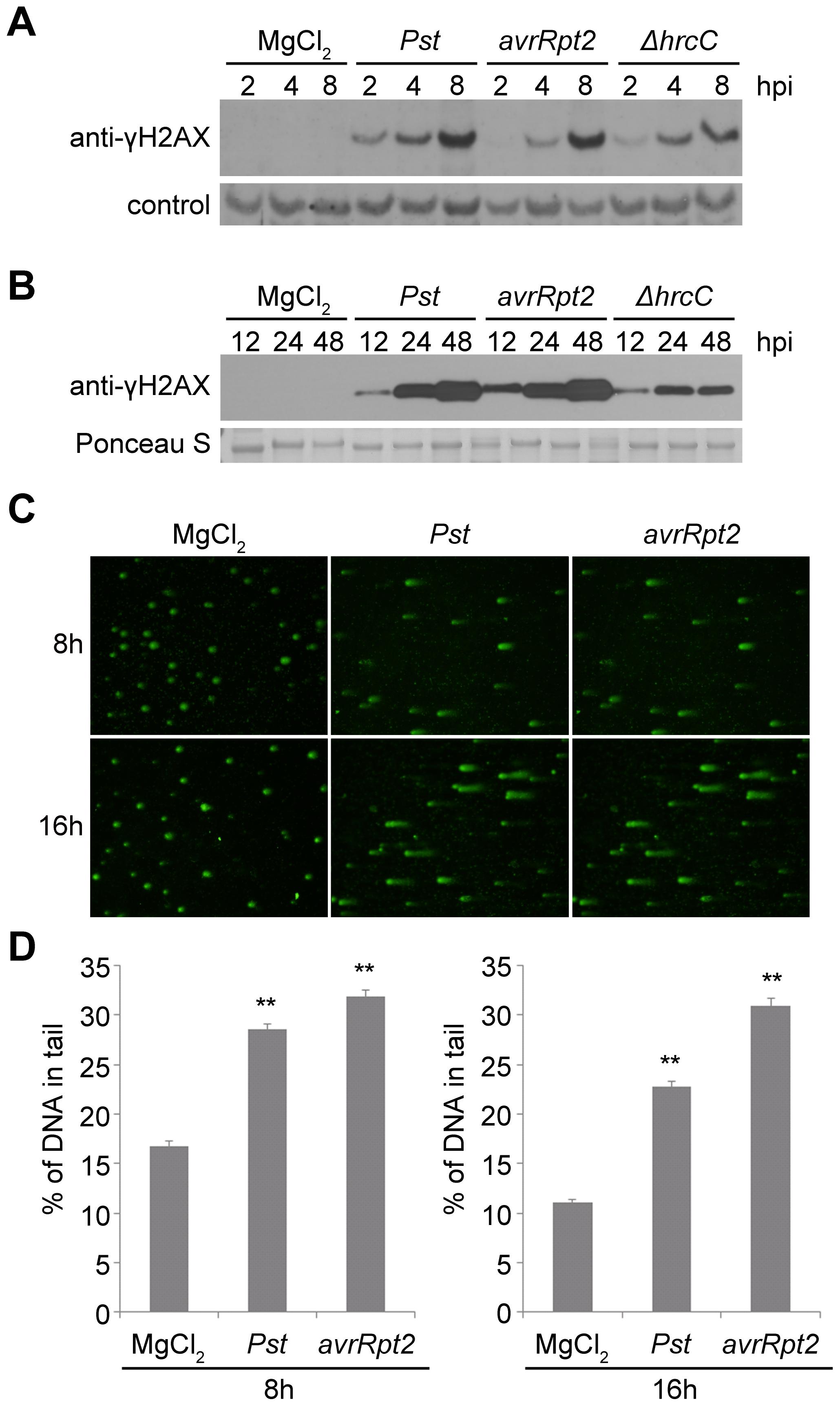 Host DNA damage by <i>Pseudomonas syringae</i> pv. <i>tomato</i> (<i>Pst</i>).