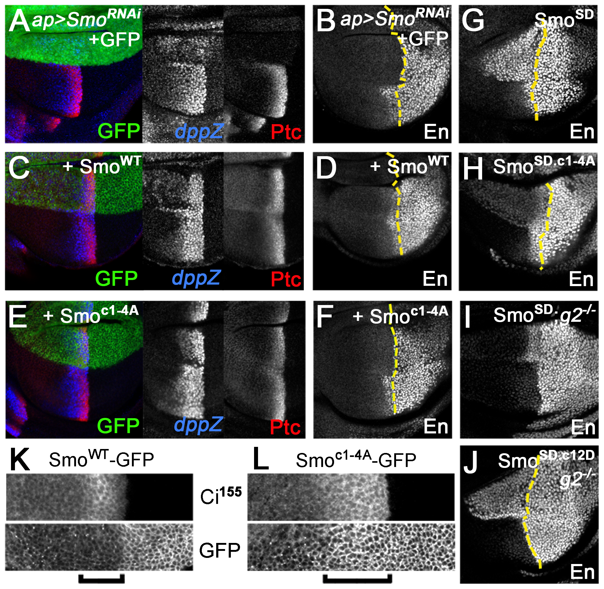 Gprk2 phosphorylation is required for maximal Smo activity <i>in vivo</i>.