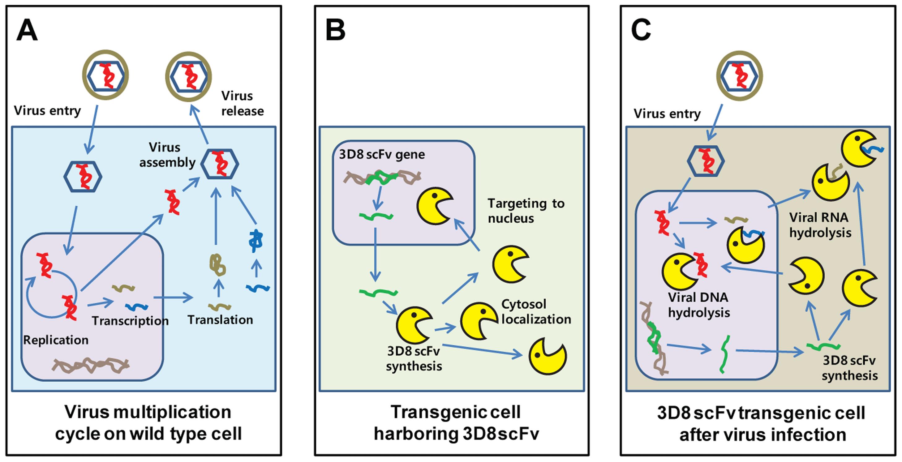 New antiviral mechanism by 3D8 scFv protein.