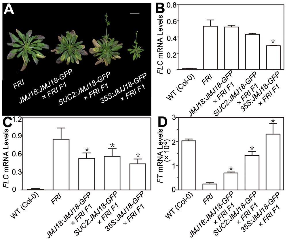 JMJ18 overexpression suppresses the <i>FRI</i> late-flowering phenotype.