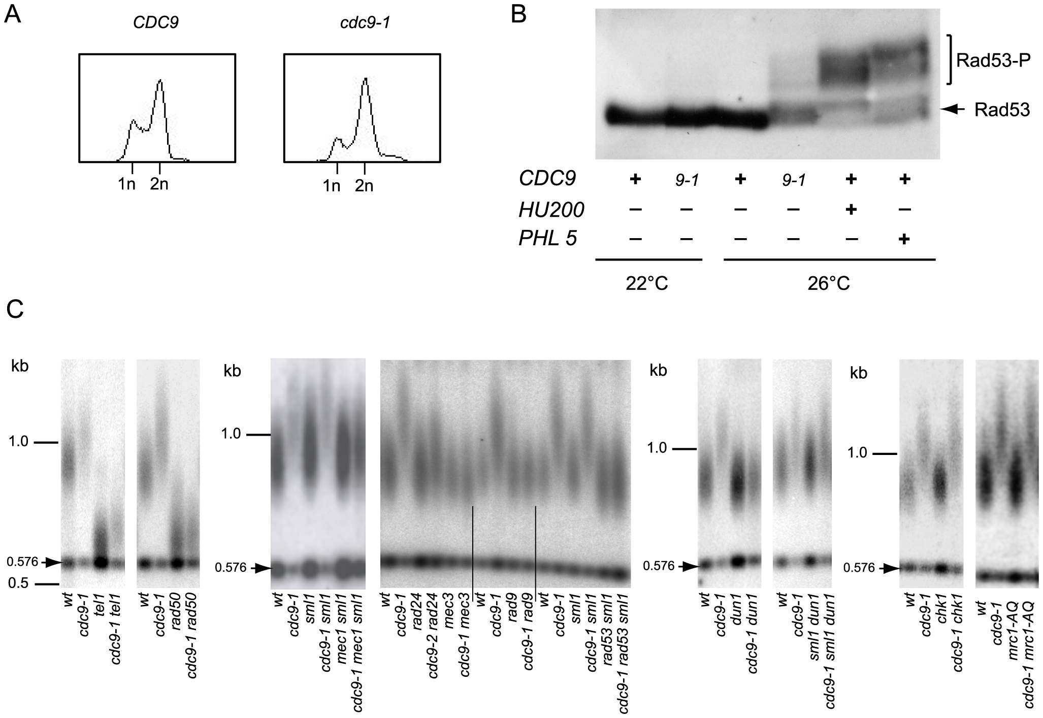 Activation of the DNA damage checkpoint occurs in <i>cdc9-1</i> cells at 26°C and is required for their telomere length phenotype.