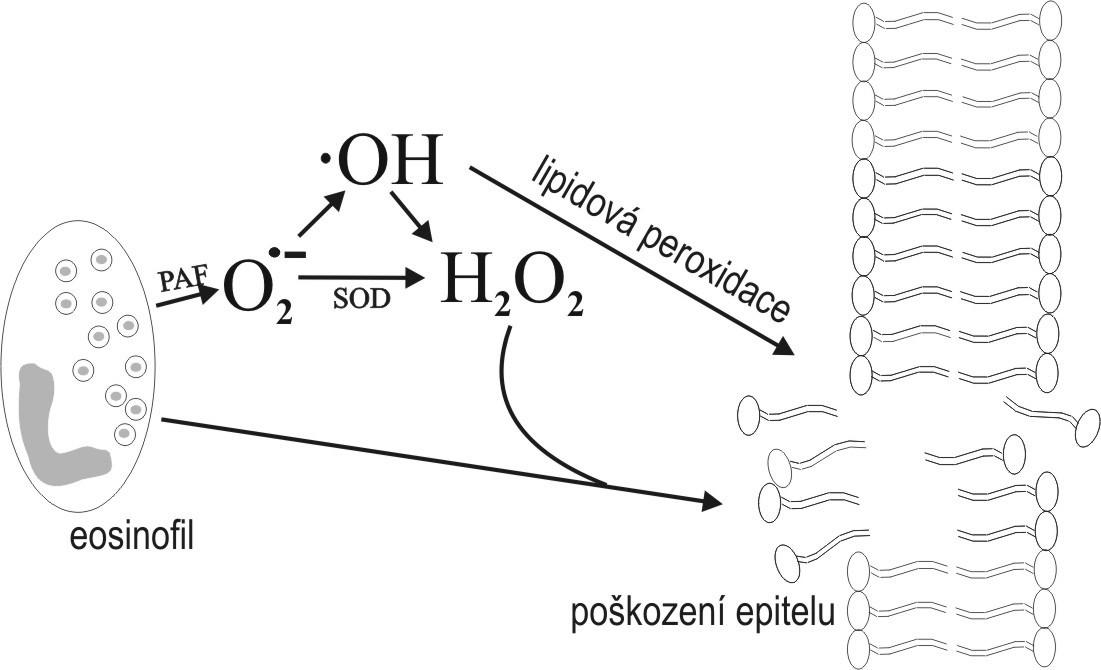 Schéma lipidové peroxidace