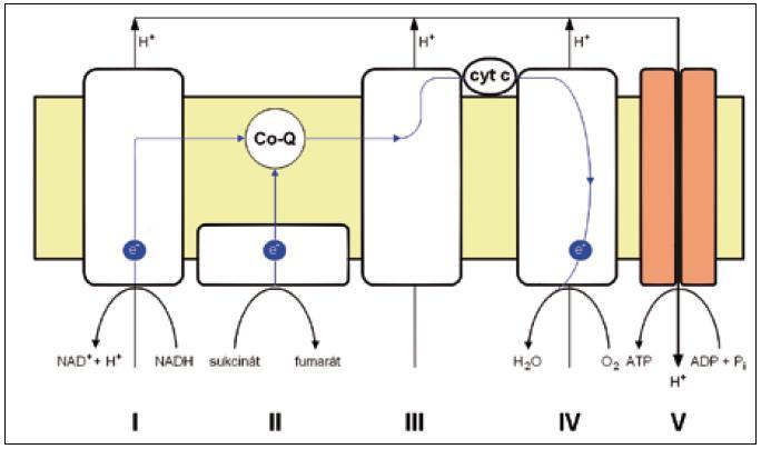 Obr. 1b. Schematické znázornění komplexů oxidativně-fosforylačního řetězce.