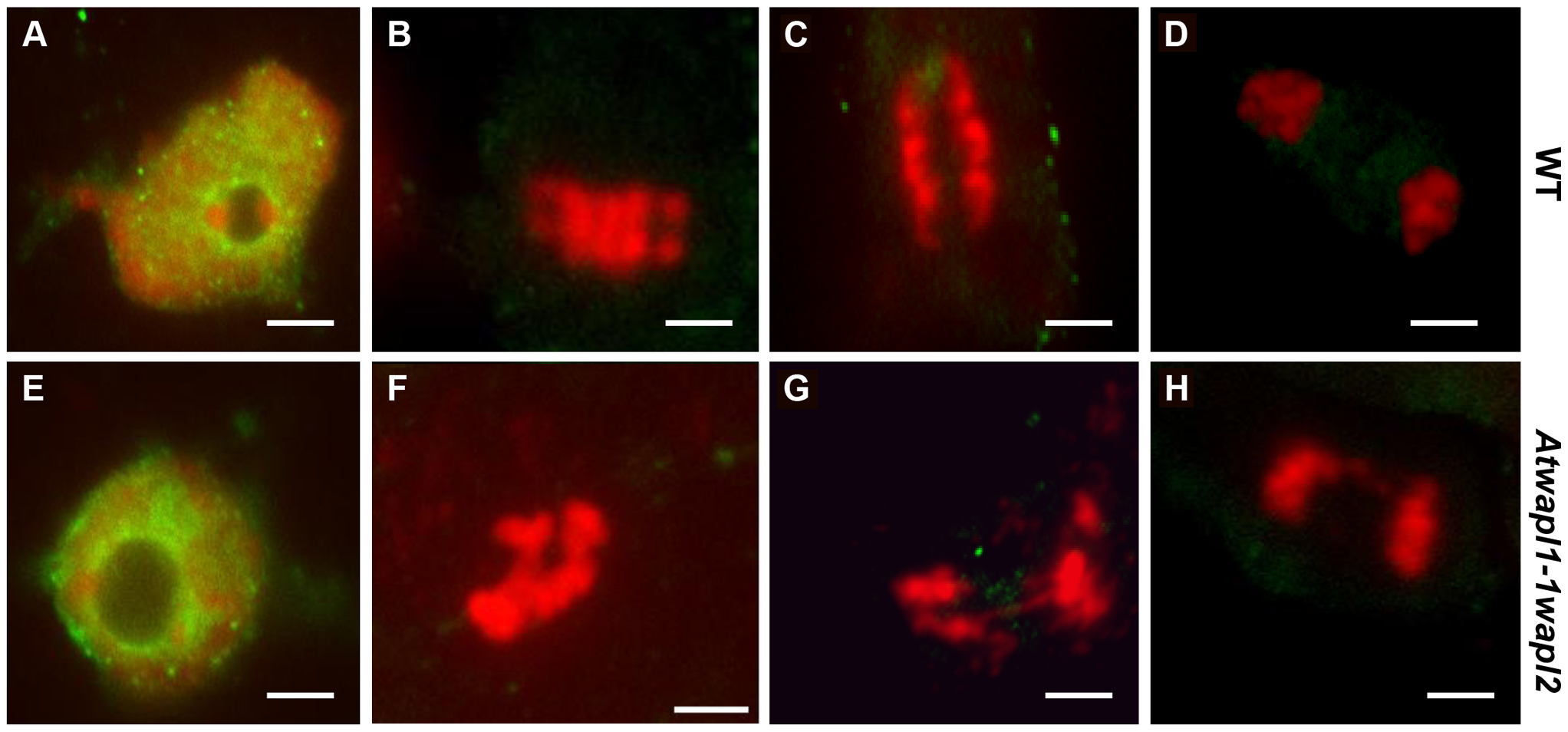 Cohesin is released normally in <i>Atwapl1-1wapl2</i> root tip cells.