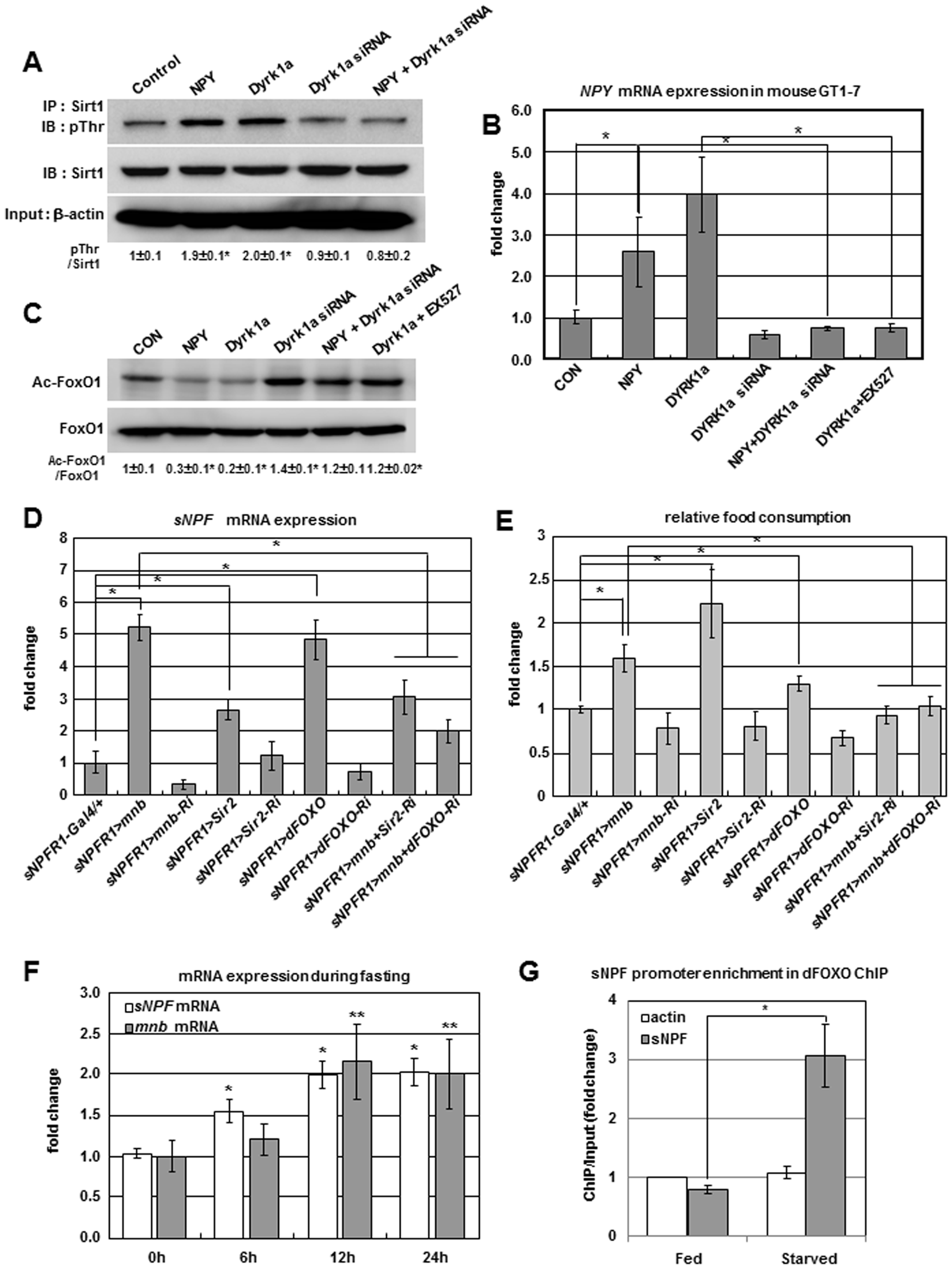 Positive regulation of <i>sNPF/NPY</i> by the Mnb/Dyrk1a-Sir2-FOXO pathway.