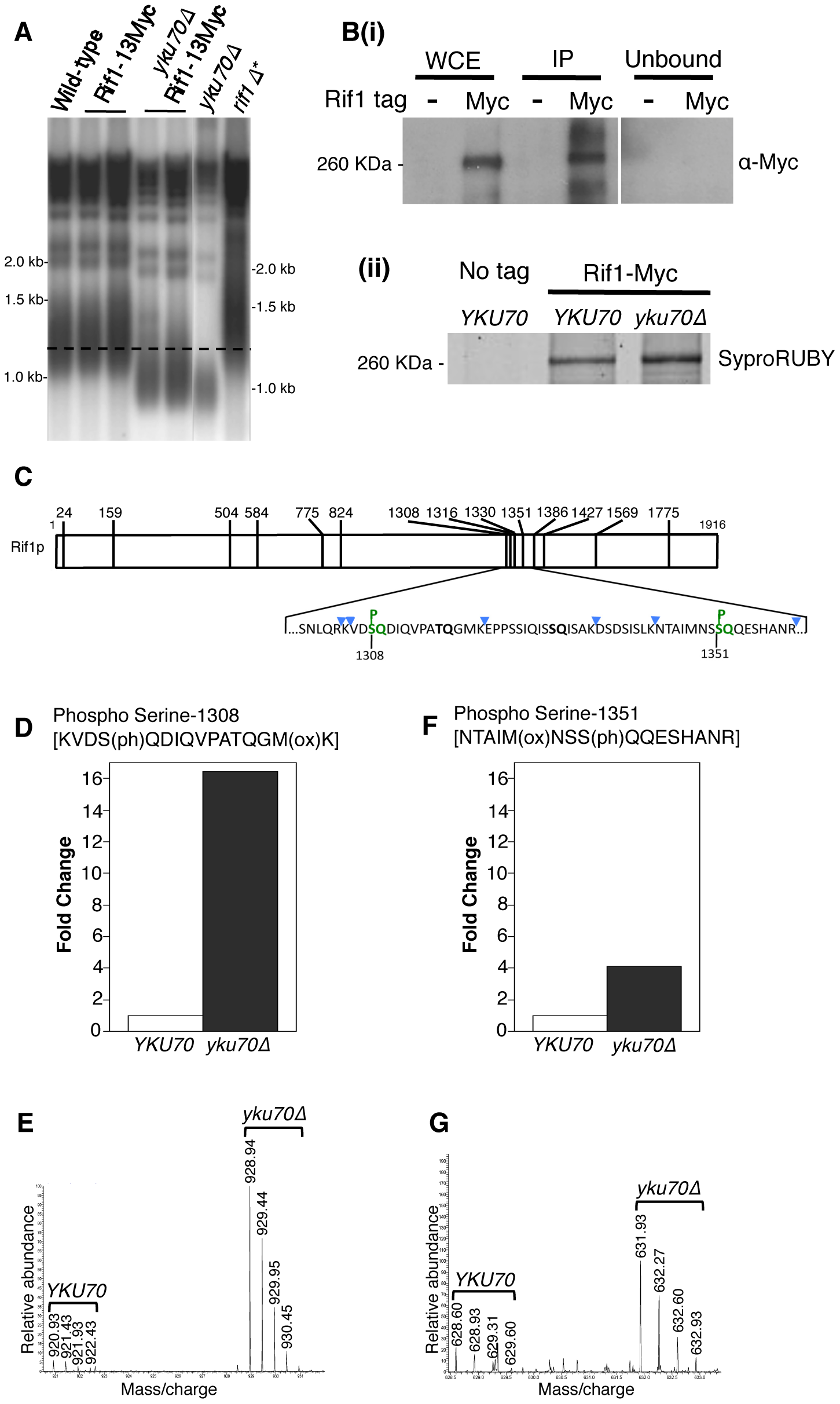Rif1 is phosphorylated at Tel1 consensus sites in the short telomere mutant <i>yku70</i>Δ.