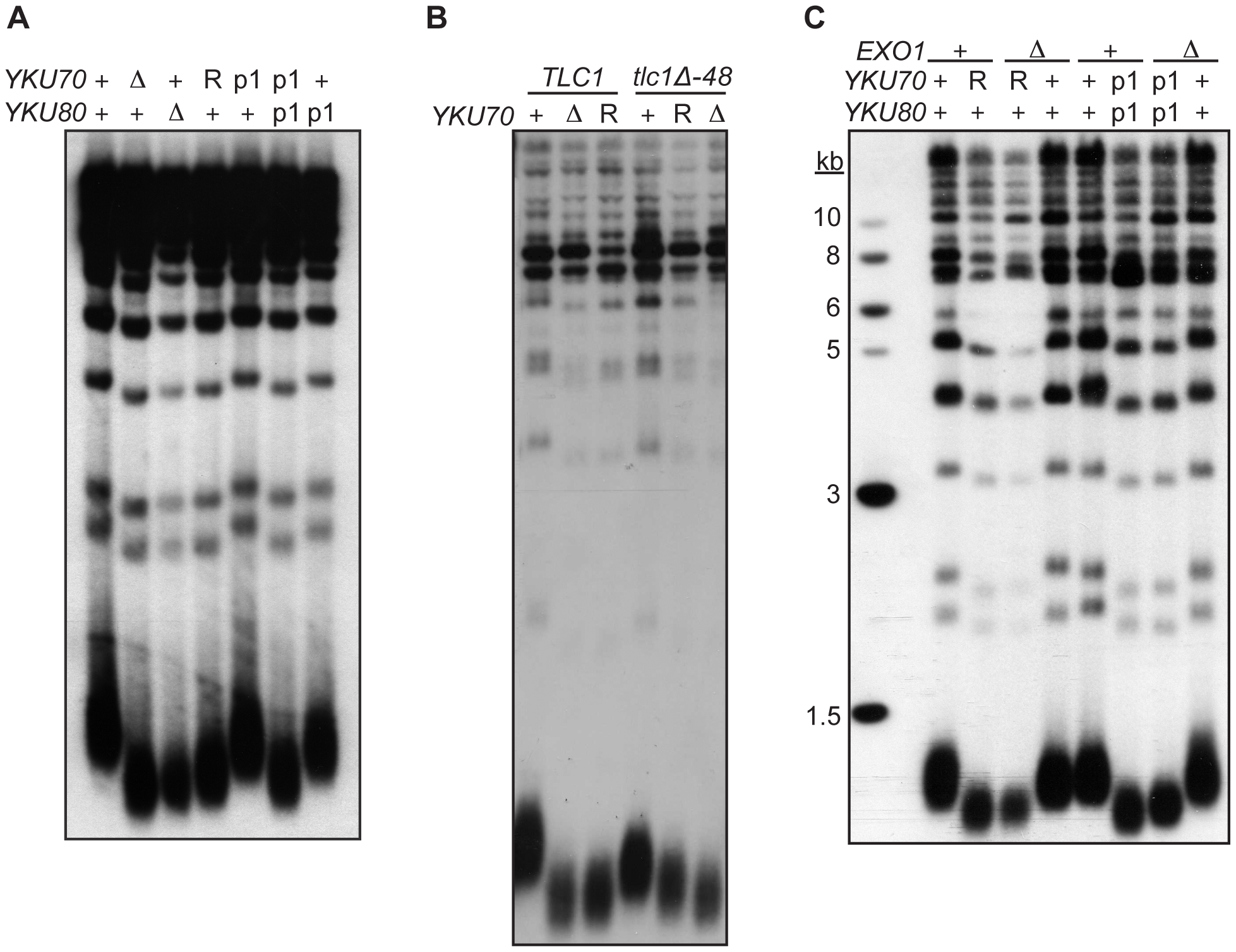 DNA end binding–defective mutants are deficient for telomeric length regulation.