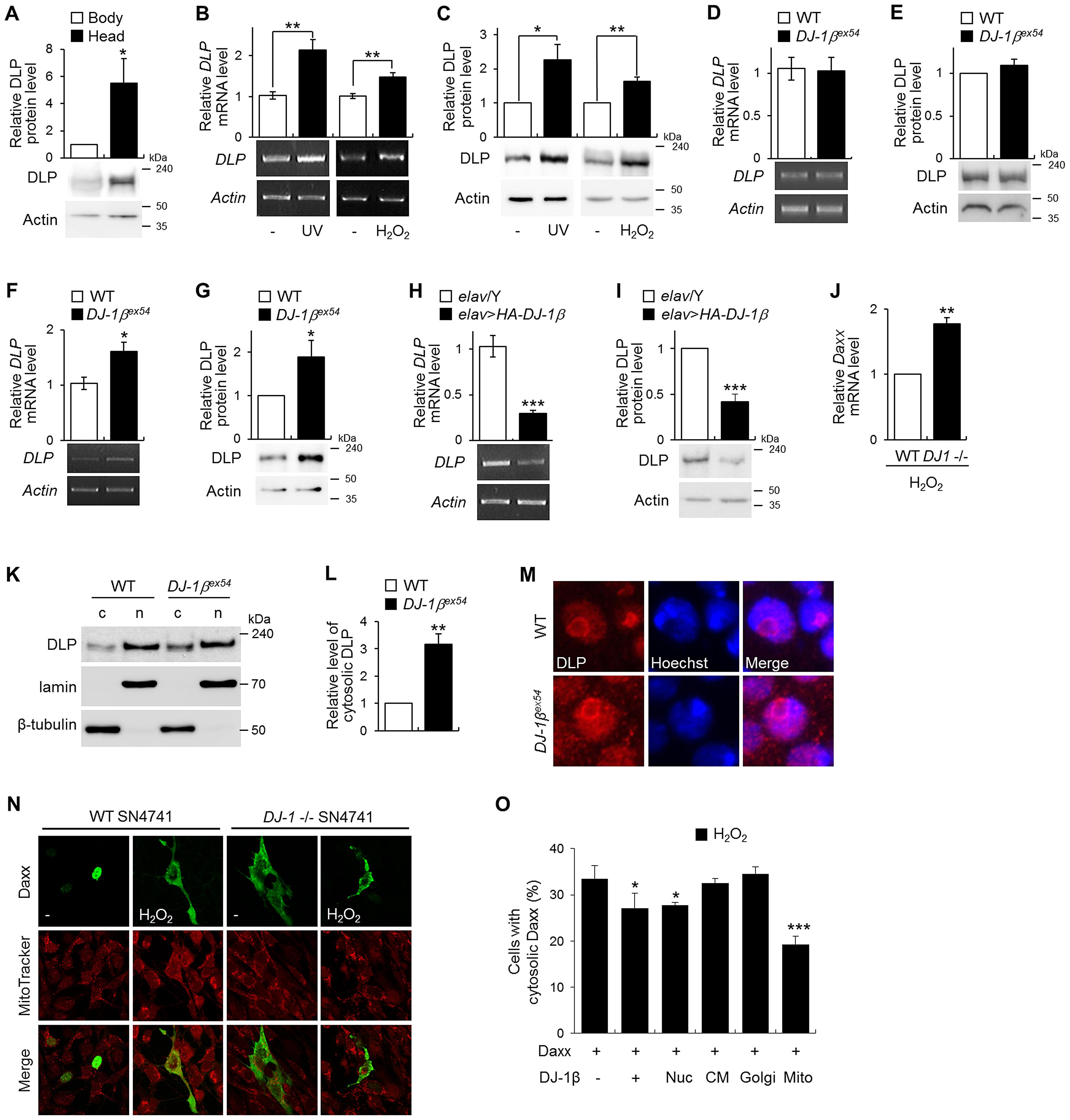 Gene expression of DLP by oxidative stress, UV, and <i>DJ-1β</i>.