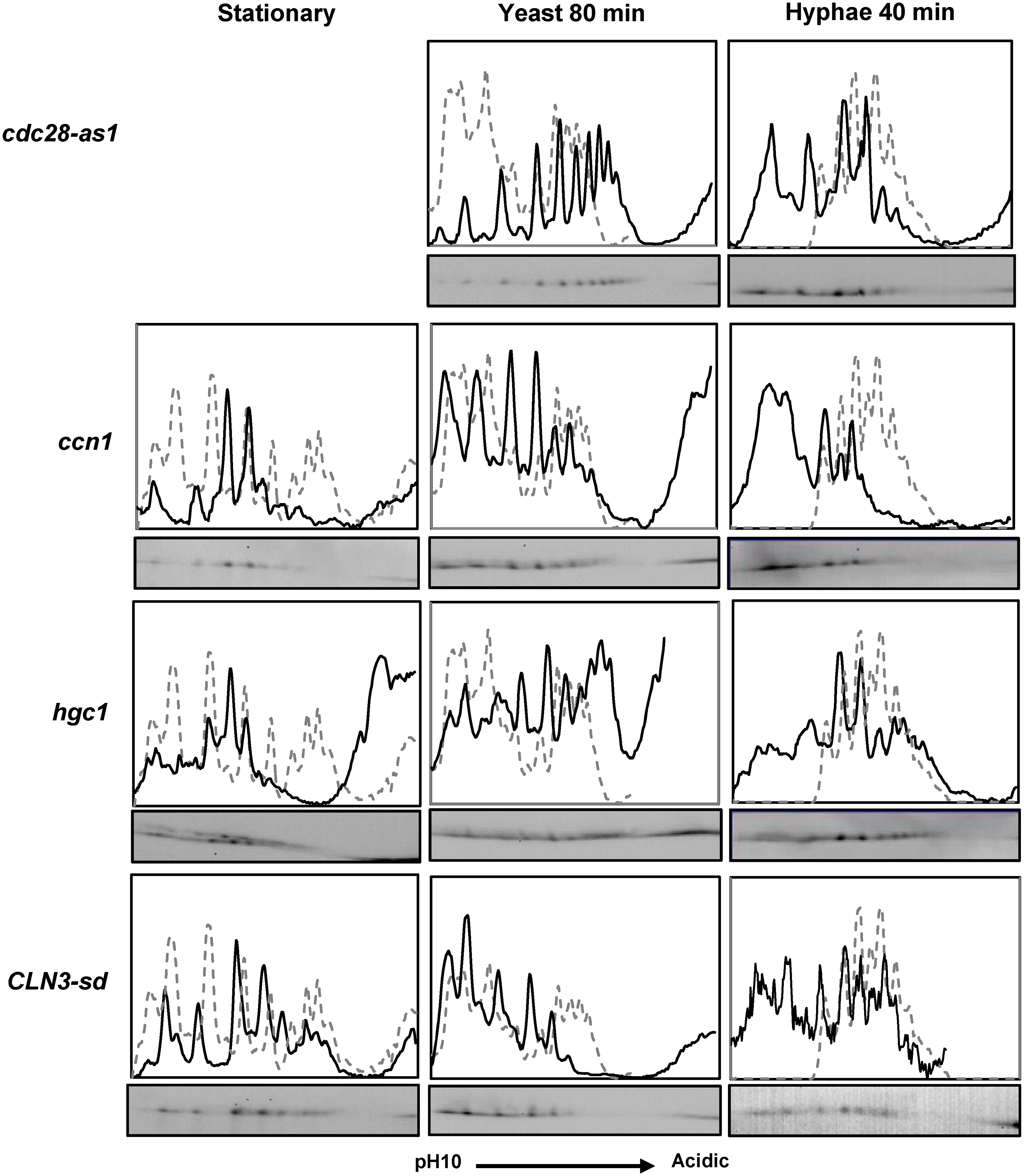 The effect of inhibiting Cdc28 or the removal of Cdc28 cyclins on Fkh2 phosphorylation.