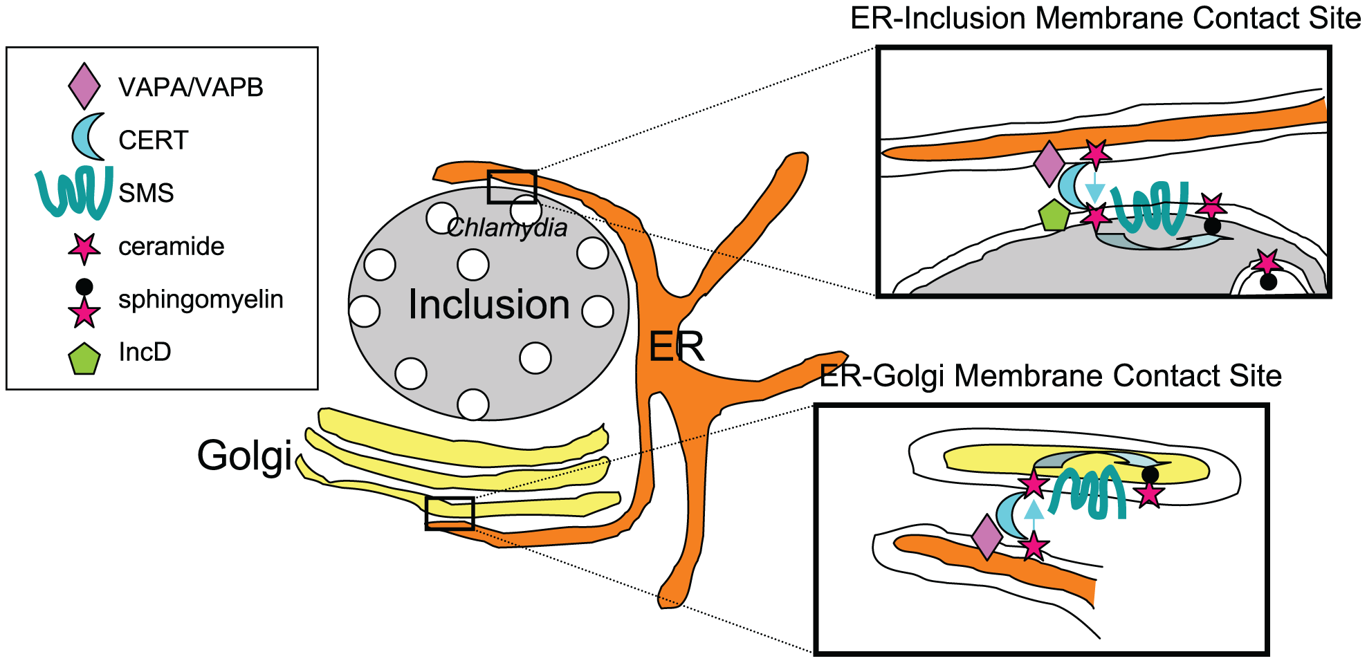 Direct transport of ceramide from the ER to <i>C. trachomatis</i> inclusion.