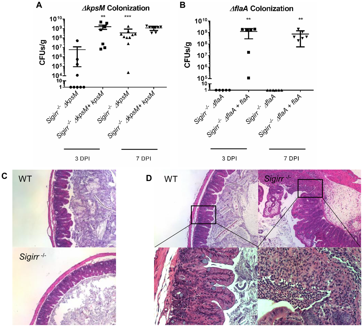 Colonization of WT and <i>Sigirr−/−</i> mice by <i>ΔkpsM</i> and <i>ΔflaA</i>.