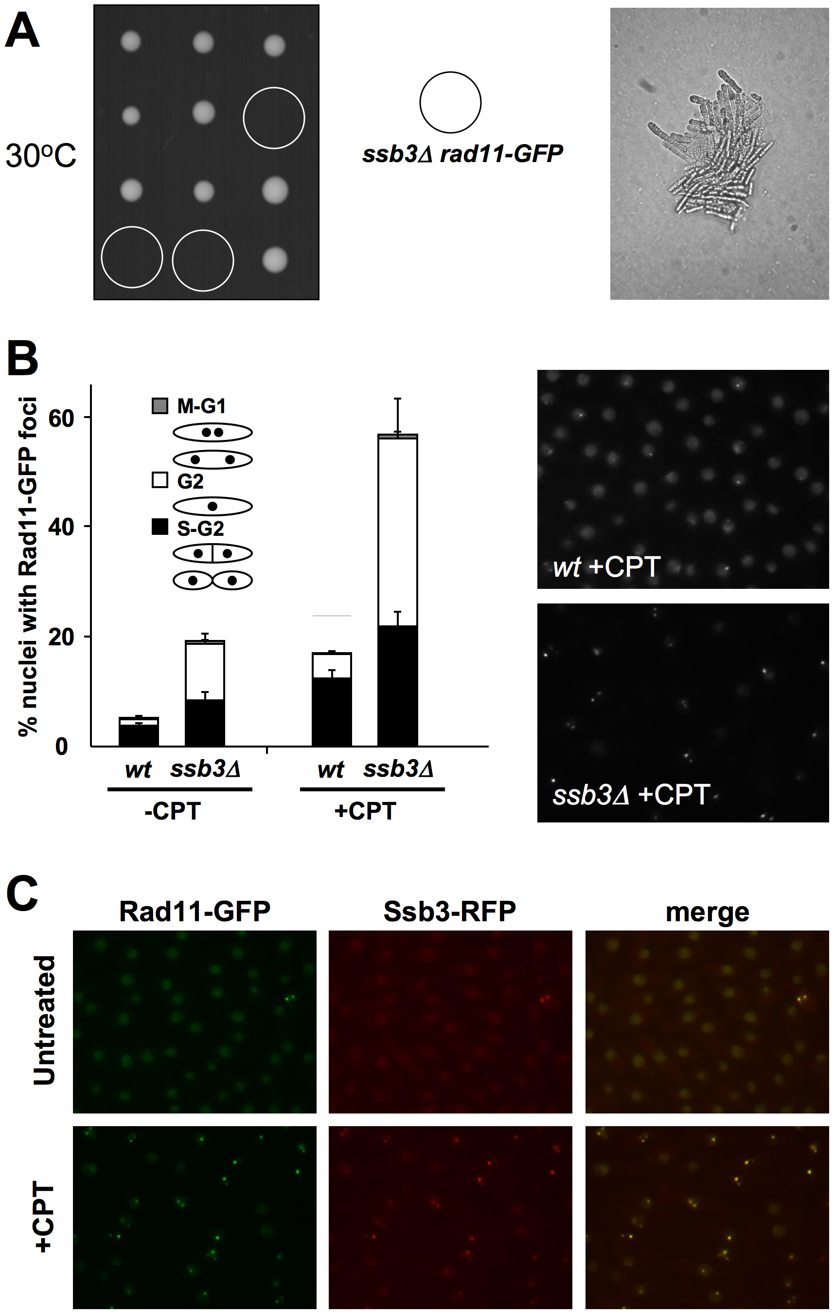 Rad11<sup>Rpa1</sup> foci are increased in <i>ssb3Δ</i> cells.