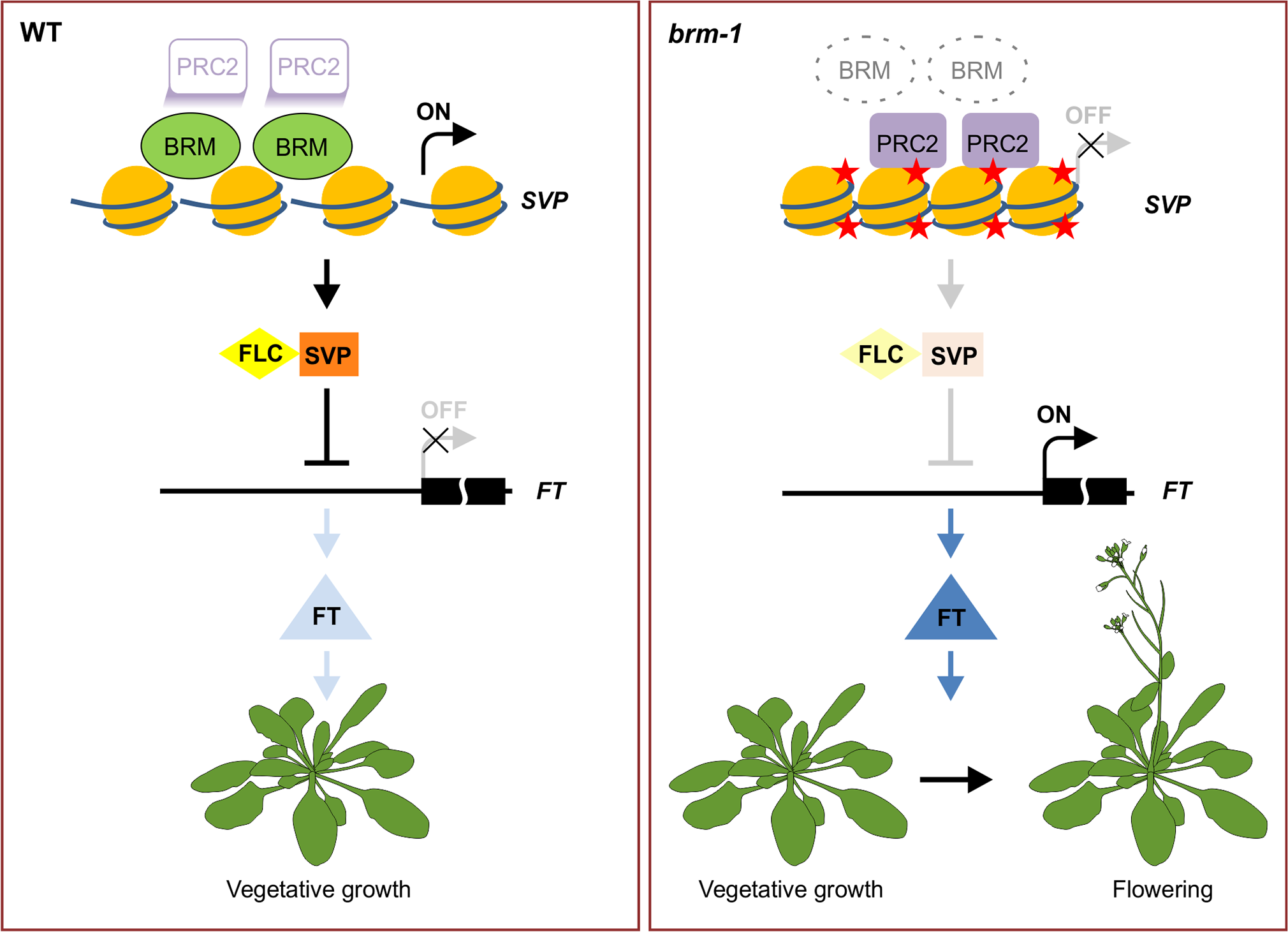 A model for BRM in preventing inappropriate PcG activities at <i>SVP</i> to promote vegetative growth.
