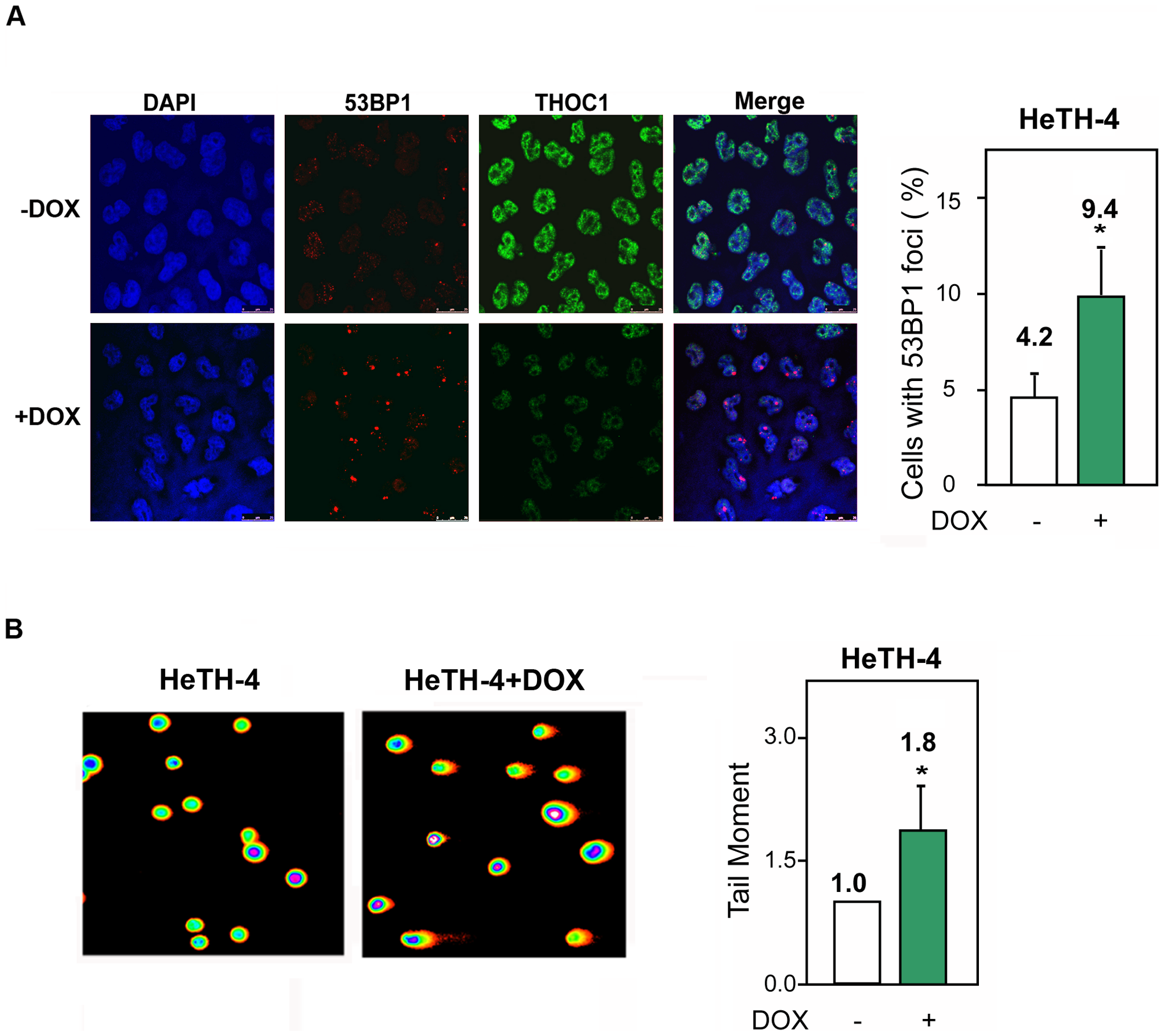 Genome instability in stable cell lines depleted of THOC1.