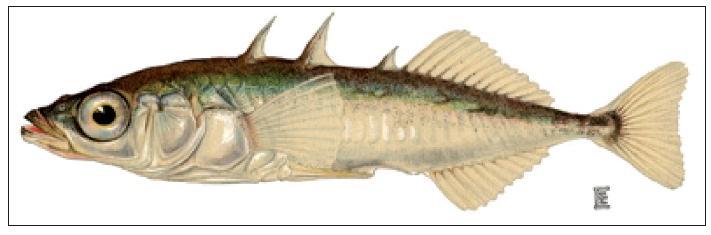 Koljuška tříostná, oblíbený příklad rychlé speciace