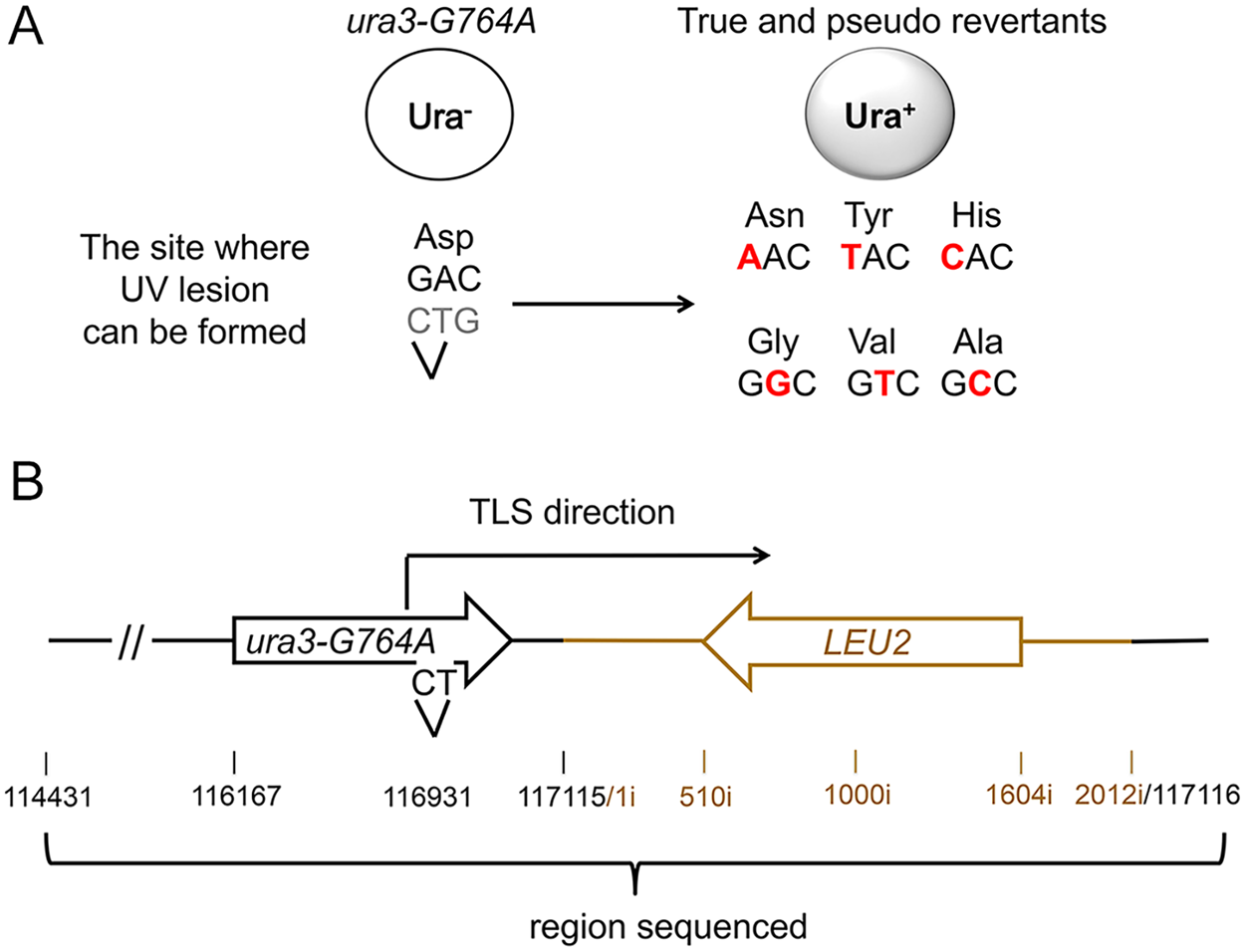 A genetic system to analyze the products of TLS through a chromosomal UV lesion.