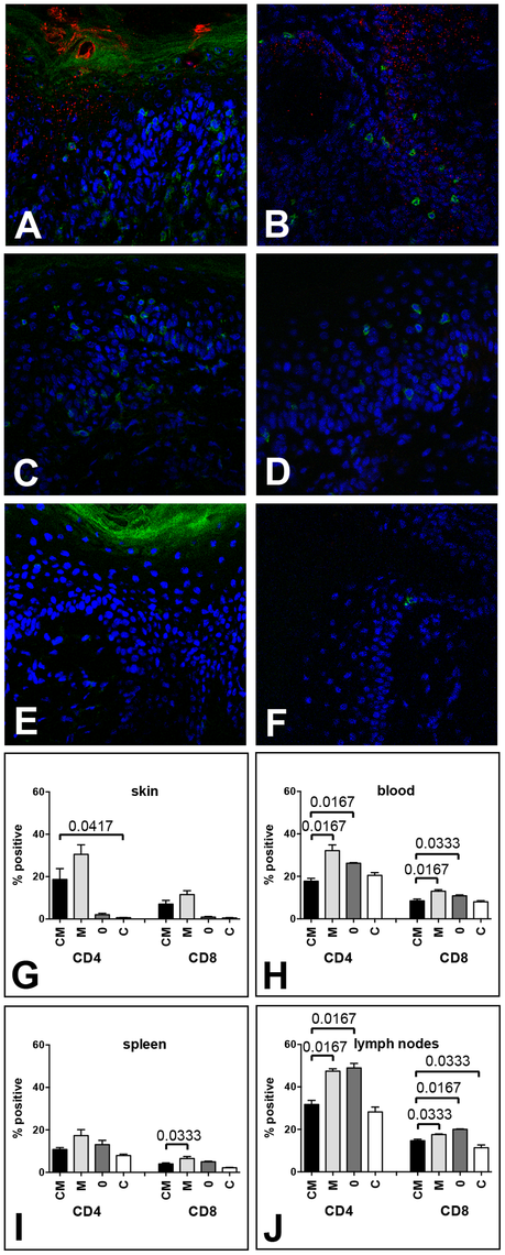 MusPV1 infection recruits CD4<sup>+</sup> and CD8<sup>+</sup> T cells to the site of infection in Cr:ORL SENCAR mice.