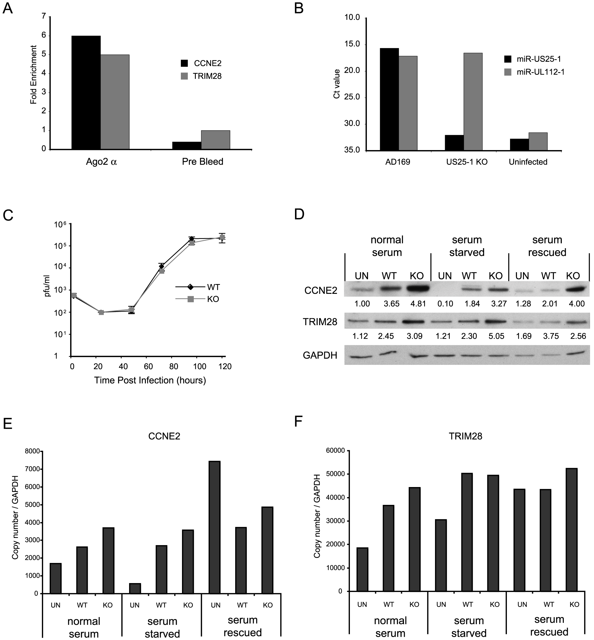 miR-US25-1 targets 5′UTR's in context of viral infection.