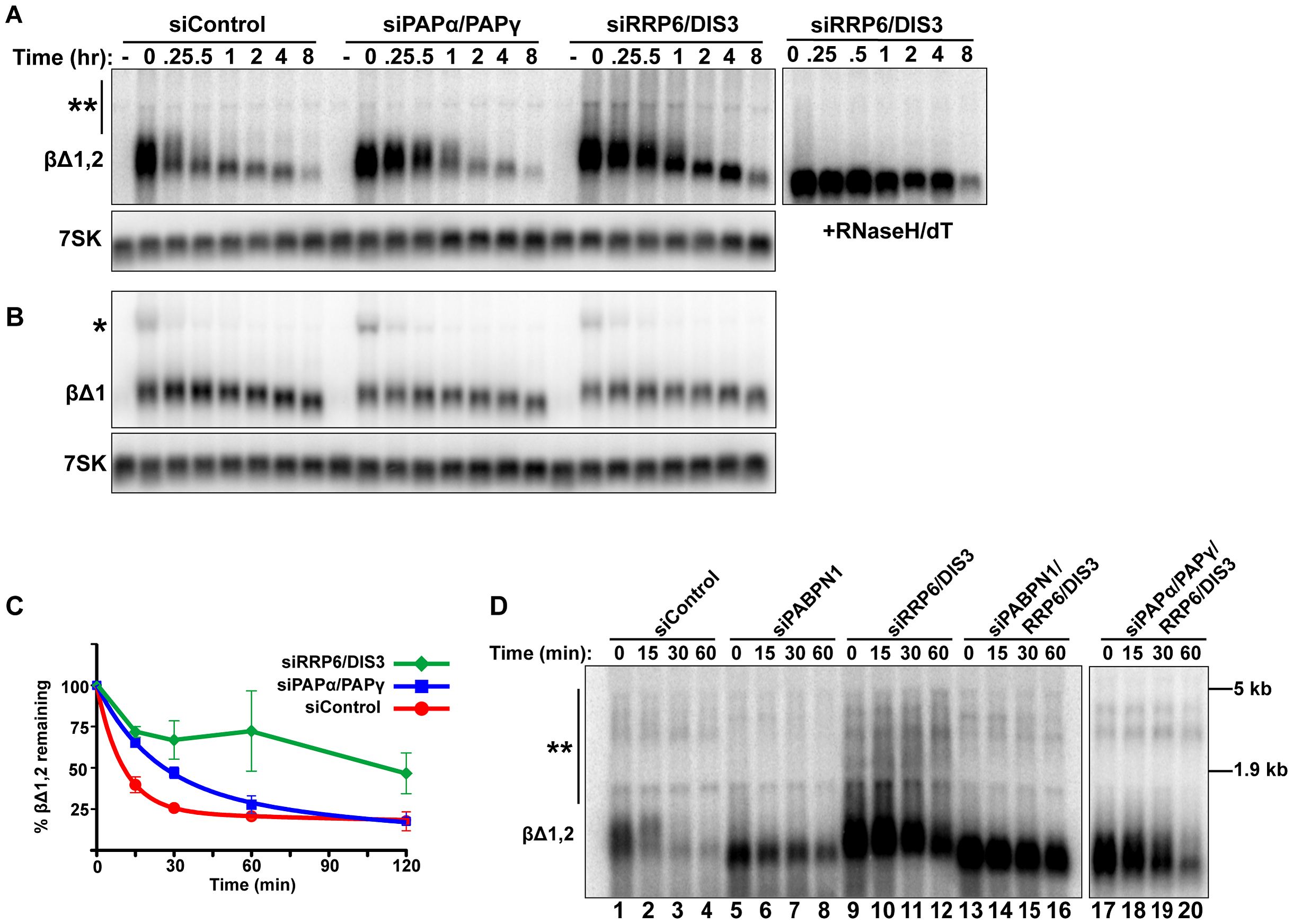 Intronless β-globin decay requires canonical PAP and exosome activity.