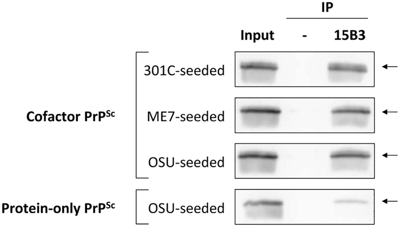 Immunoprecipitation with conformation-specific mAb 15B3 distinguishes between cofactor and protein-only PrP<sup>Sc</sup>.