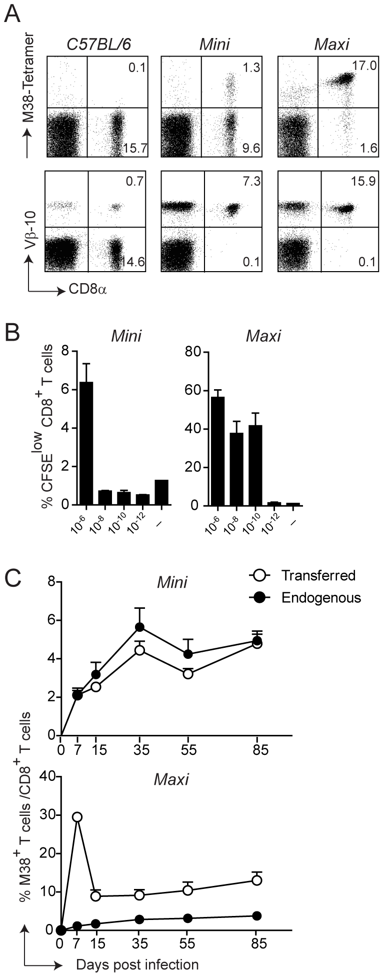 Generation of MHC class I-restricted TCR transgenic mice with specificity for the M38 epitope of MCMV.