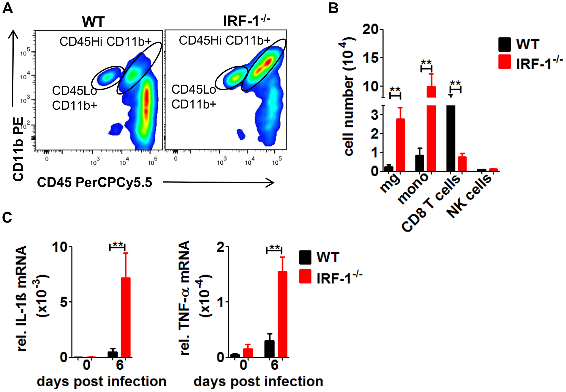 The absence of IRF-1 leads to an inflammatory response in the brain.