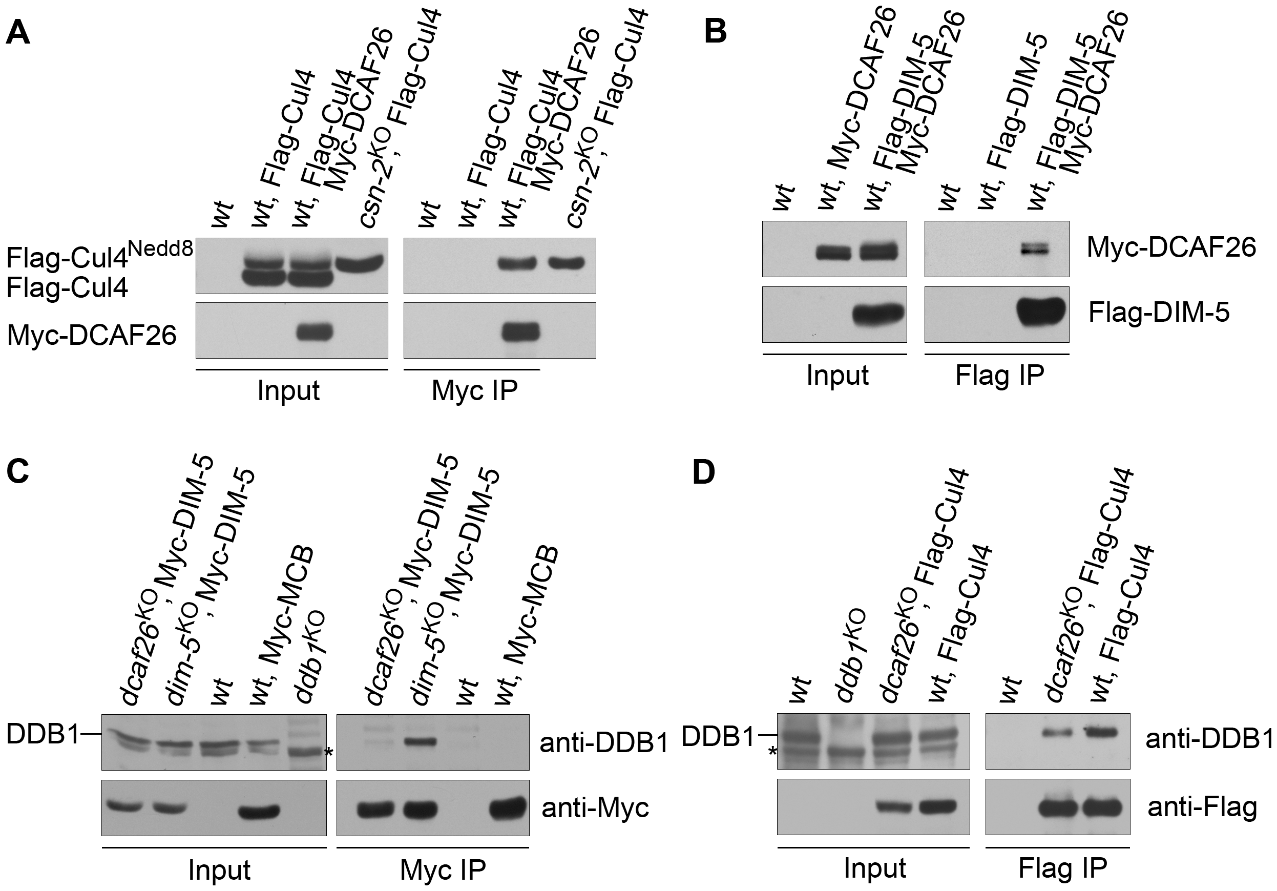 DCAF26 is the key component for recruiting DIM-5 to the Cul4-DDB1 complex.