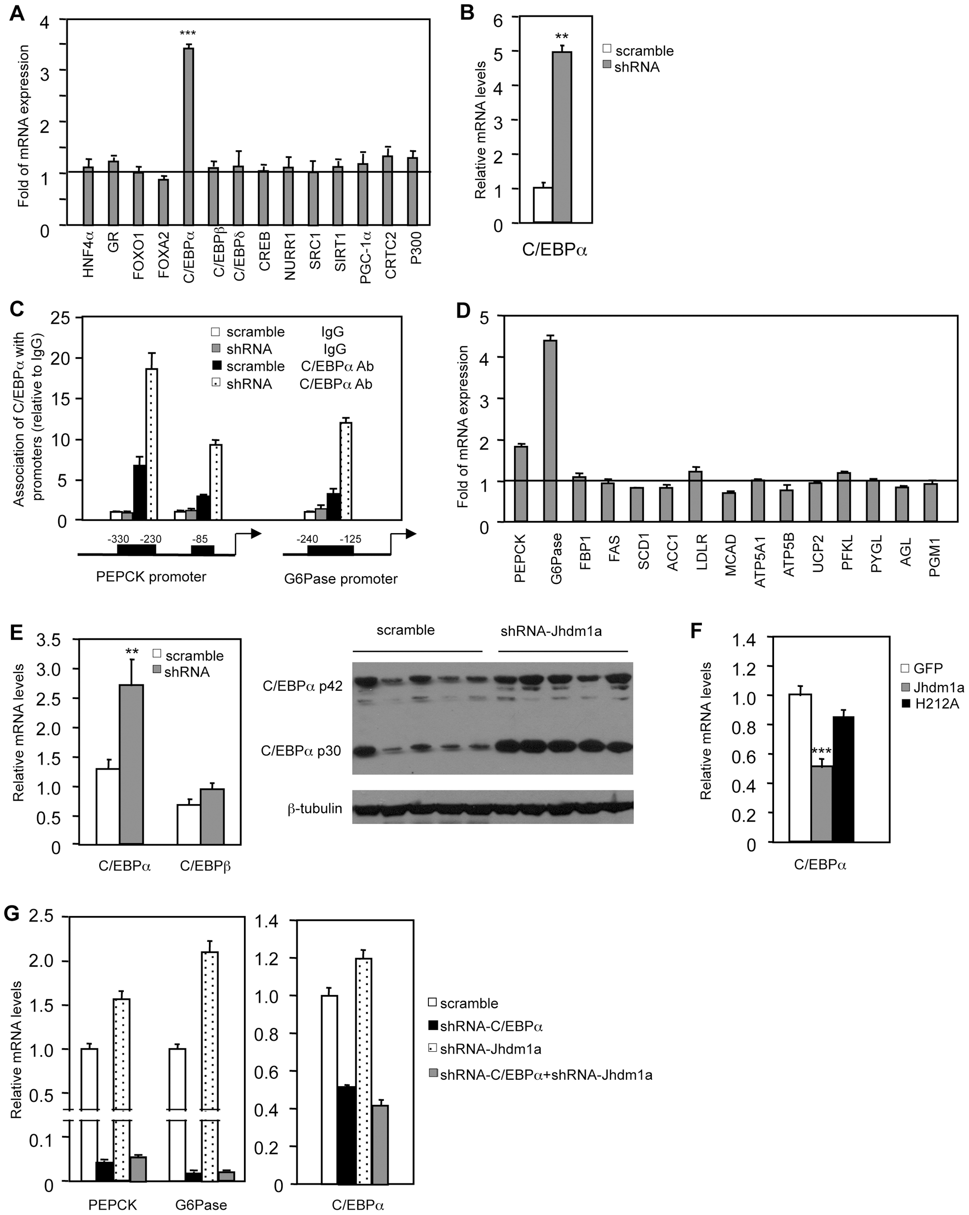 Jhdm1a regulates the expression of C/EBPα, thereby indirectly modulating gluconeogenic gene expression.