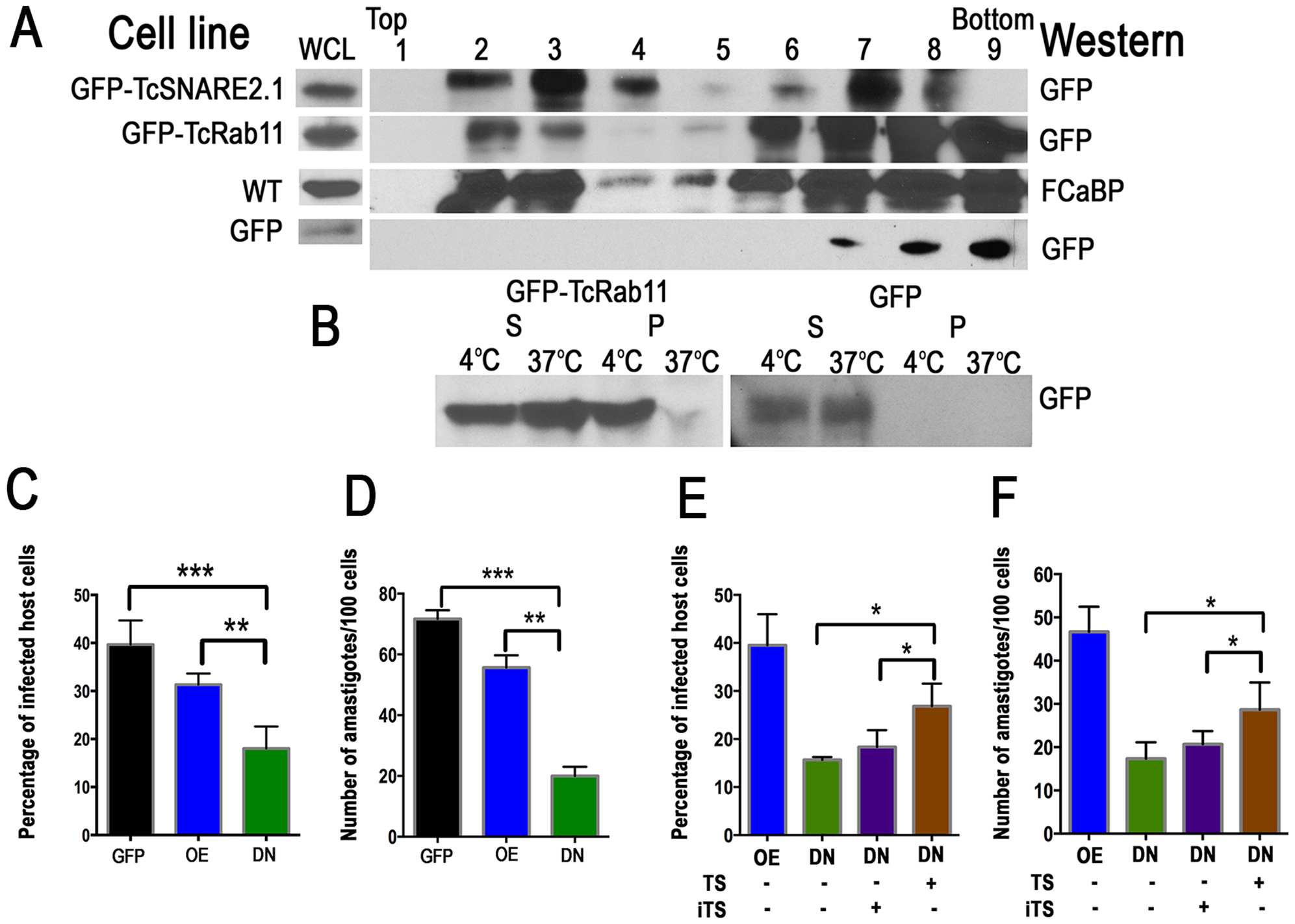 Association of CVC proteins with lipid rafts and reduced infectivity of TcRab11DN trypomastigote.