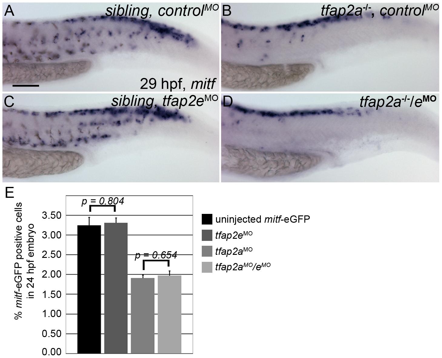 Numbers of <i>mitfa</i>-expressing cells are equivalent in <i>tfap2a/e</i> doubly-deficient and <i>tfap2a</i> deficient embryos.