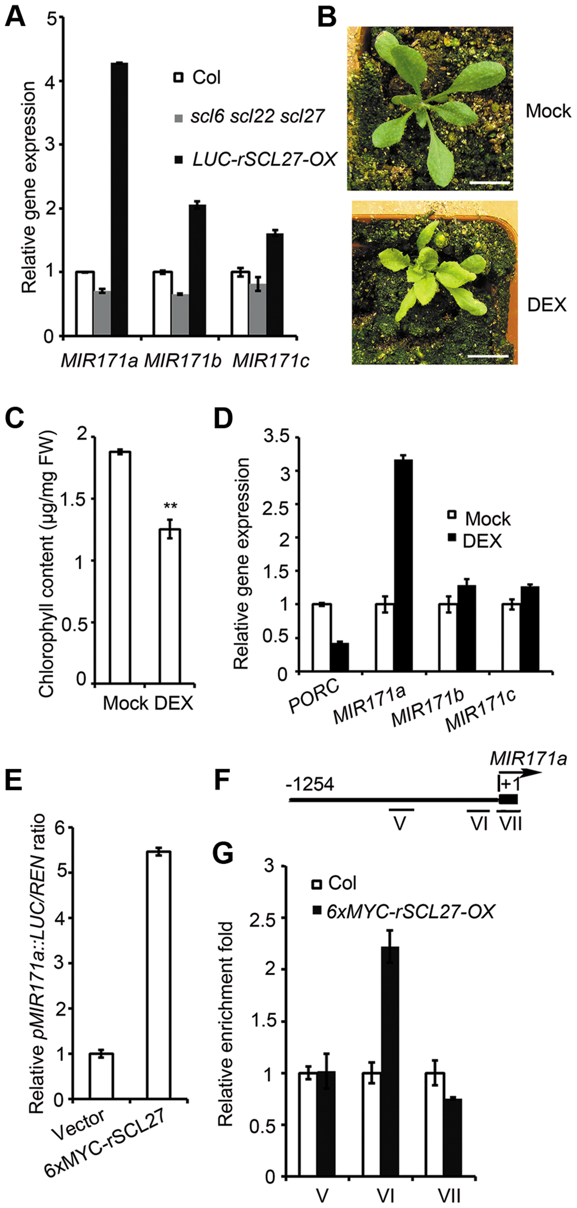 SCL27 activates <i>MIR171</i> gene expression in a feedback manner.