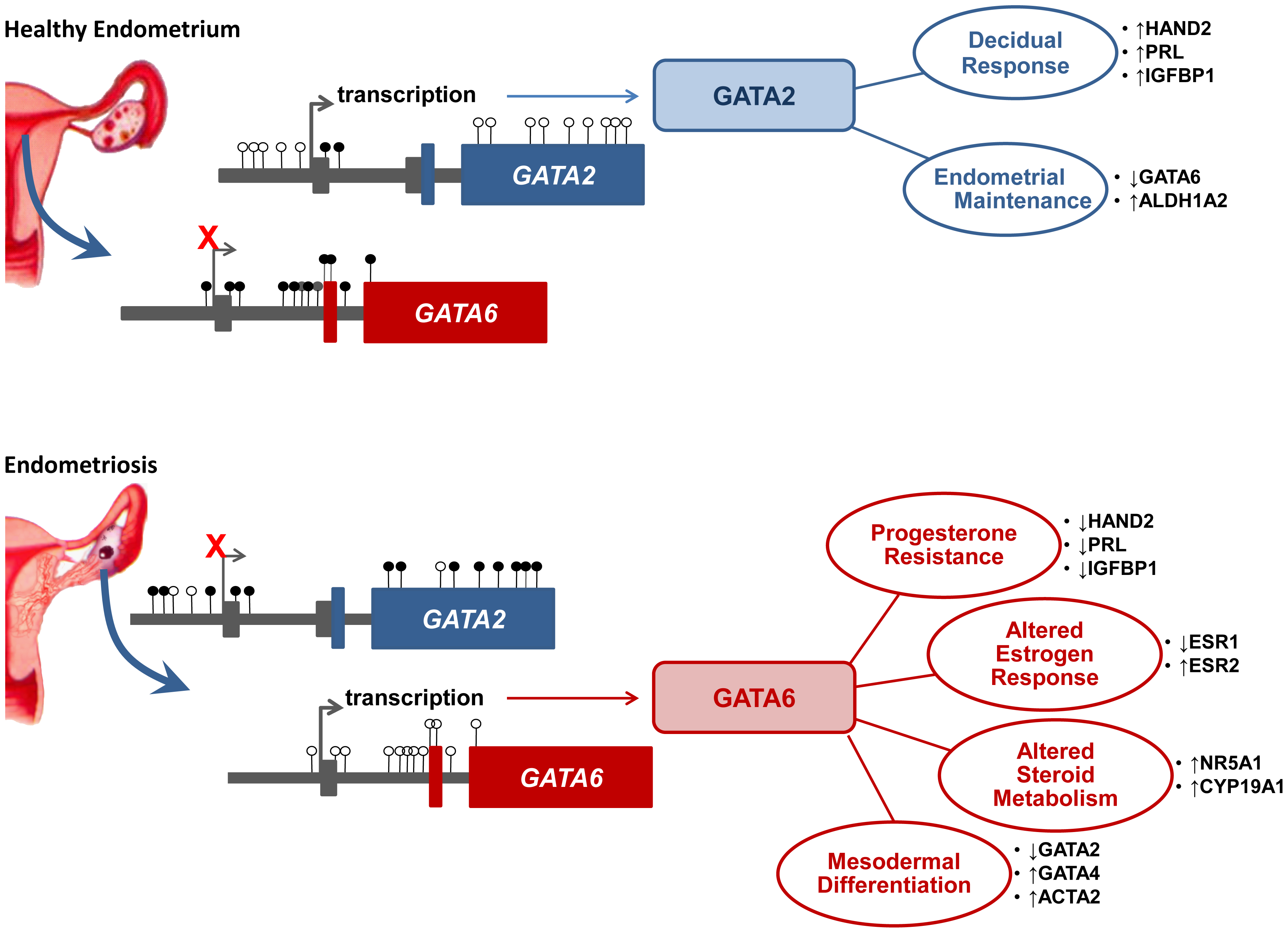 A putative epigenetic switch in endometriosis.