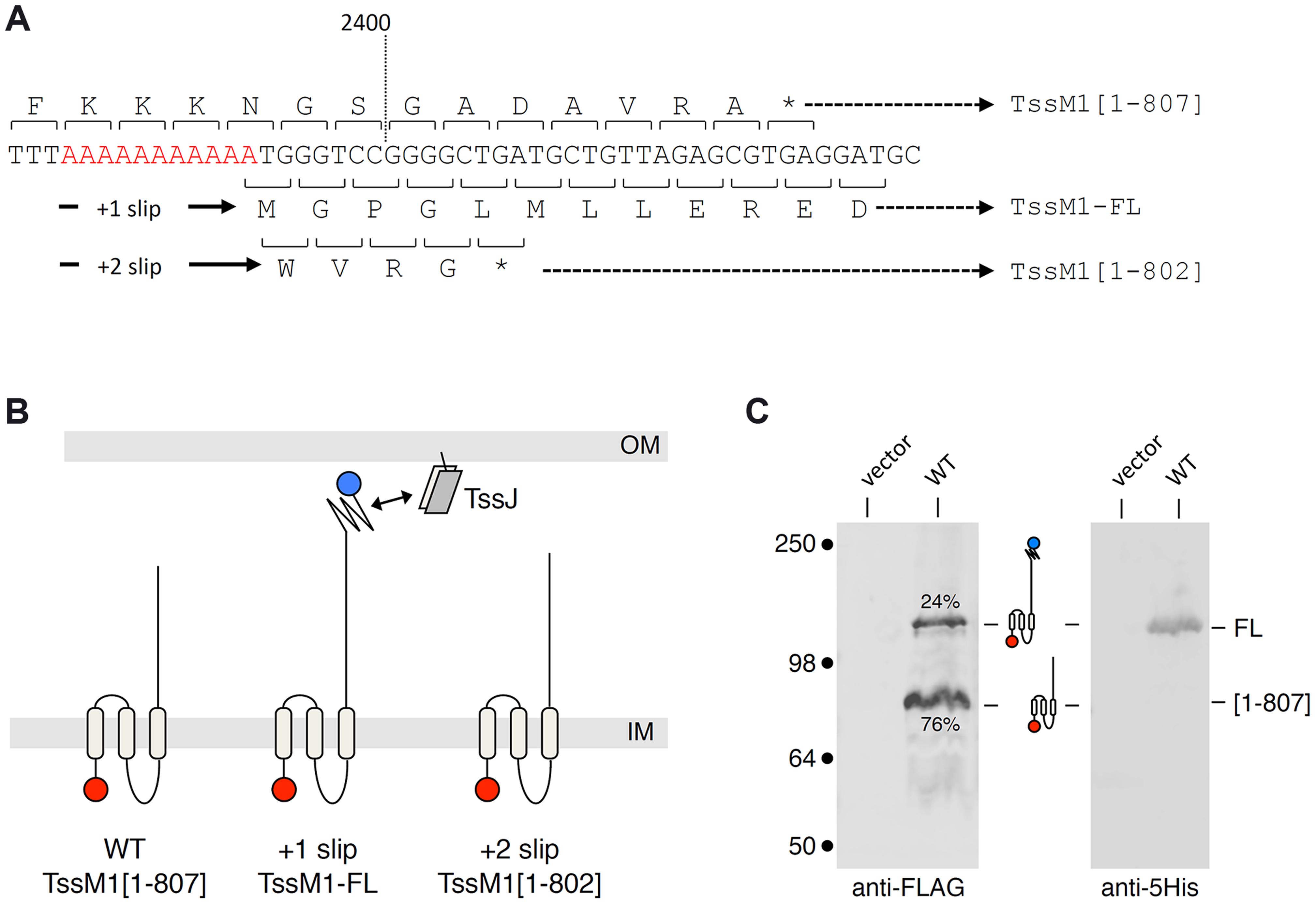 The <i>C. rodentium tssM1</i> gene encode two size variants.