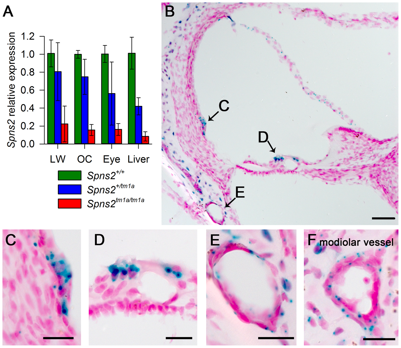 Spns2 is expressed in the cochlea.